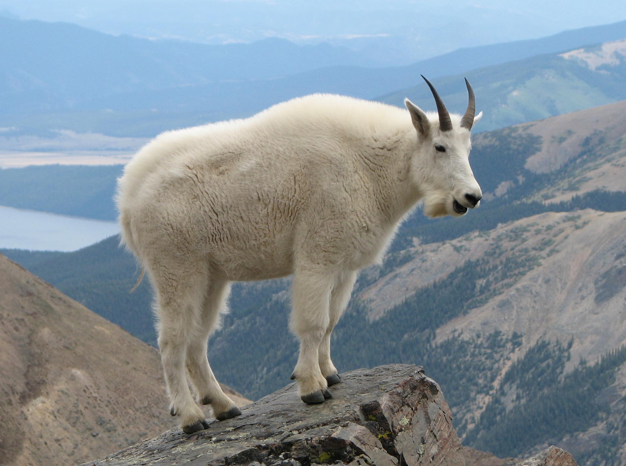 Mountain Goats - bergeron