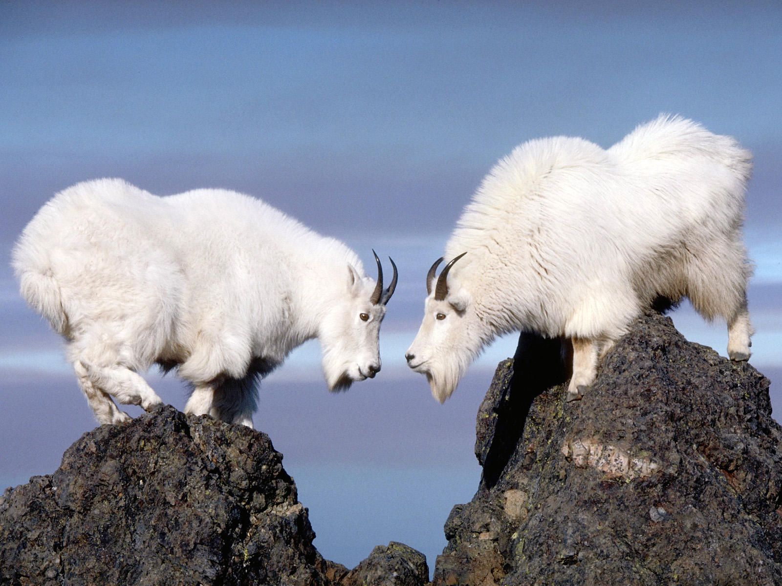 Rocky Mountain National Park | Twin Rocky Mountain Goats Olympic ...
