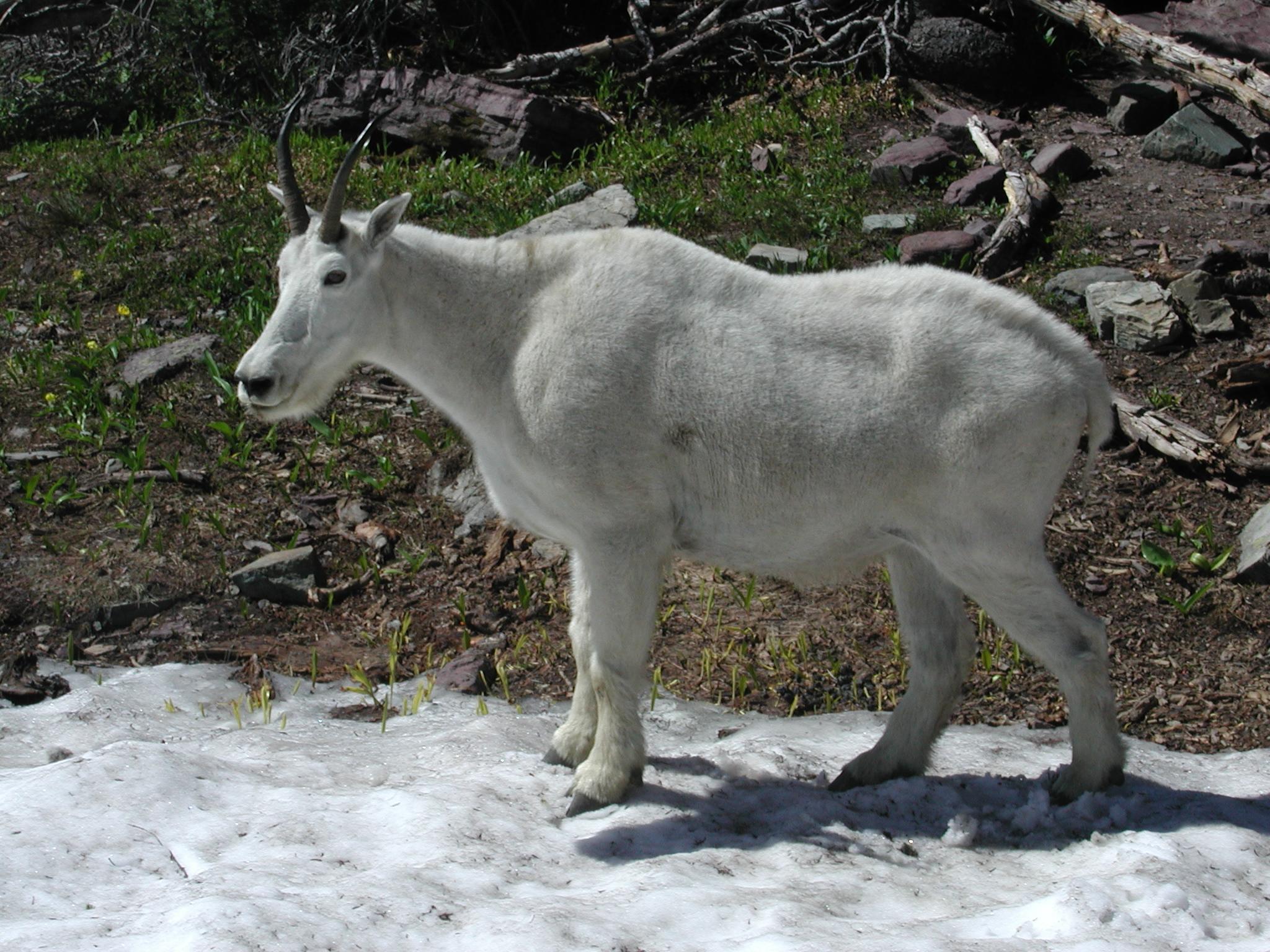 Single Mountain Goat, Goat, Ice, Mountain, Snow, HQ Photo
