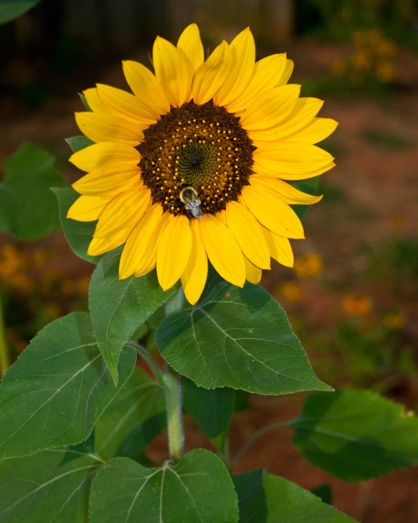Single sunflower photo