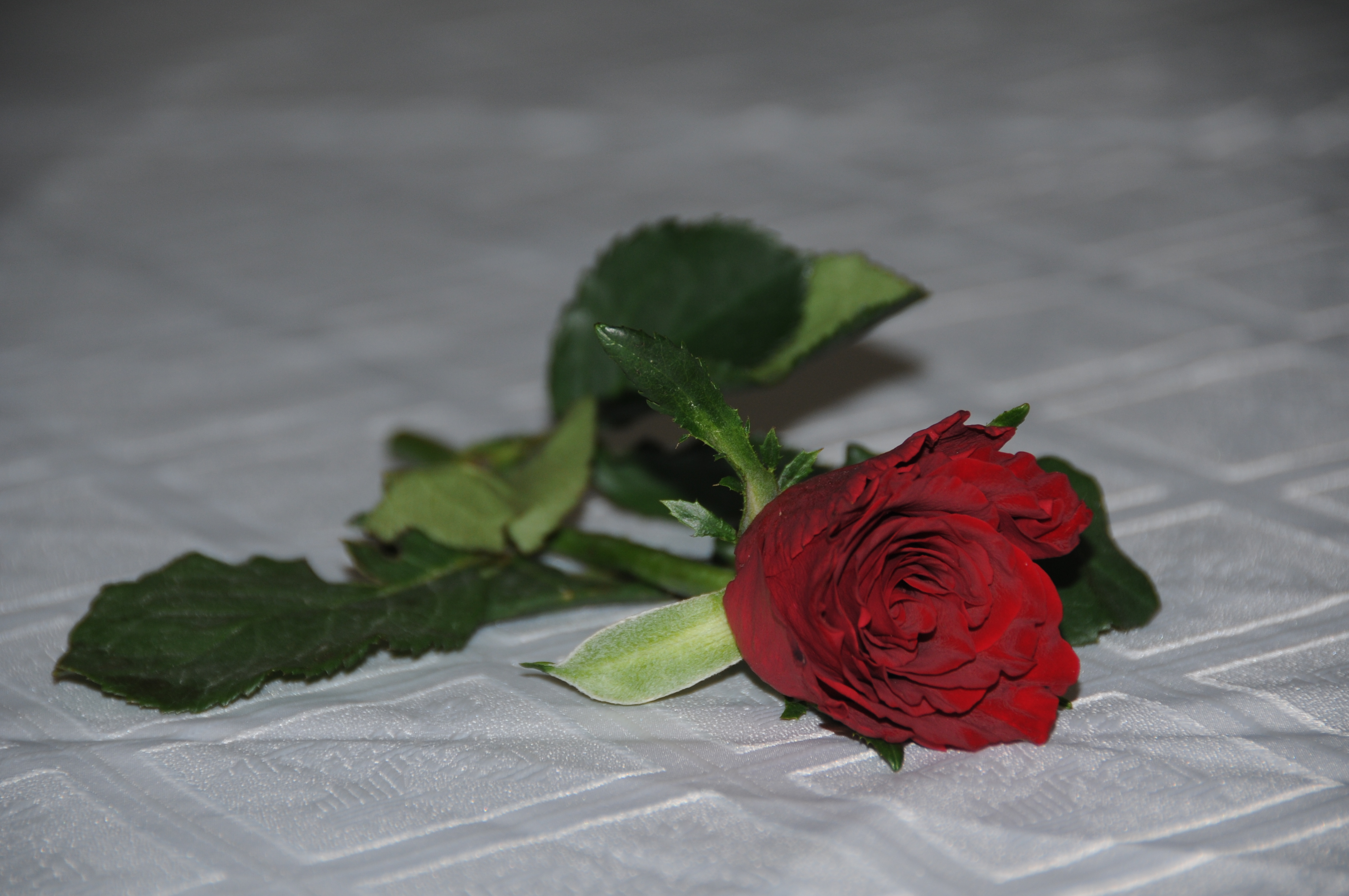Single red rose, Love, Red, Rose, HQ Photo