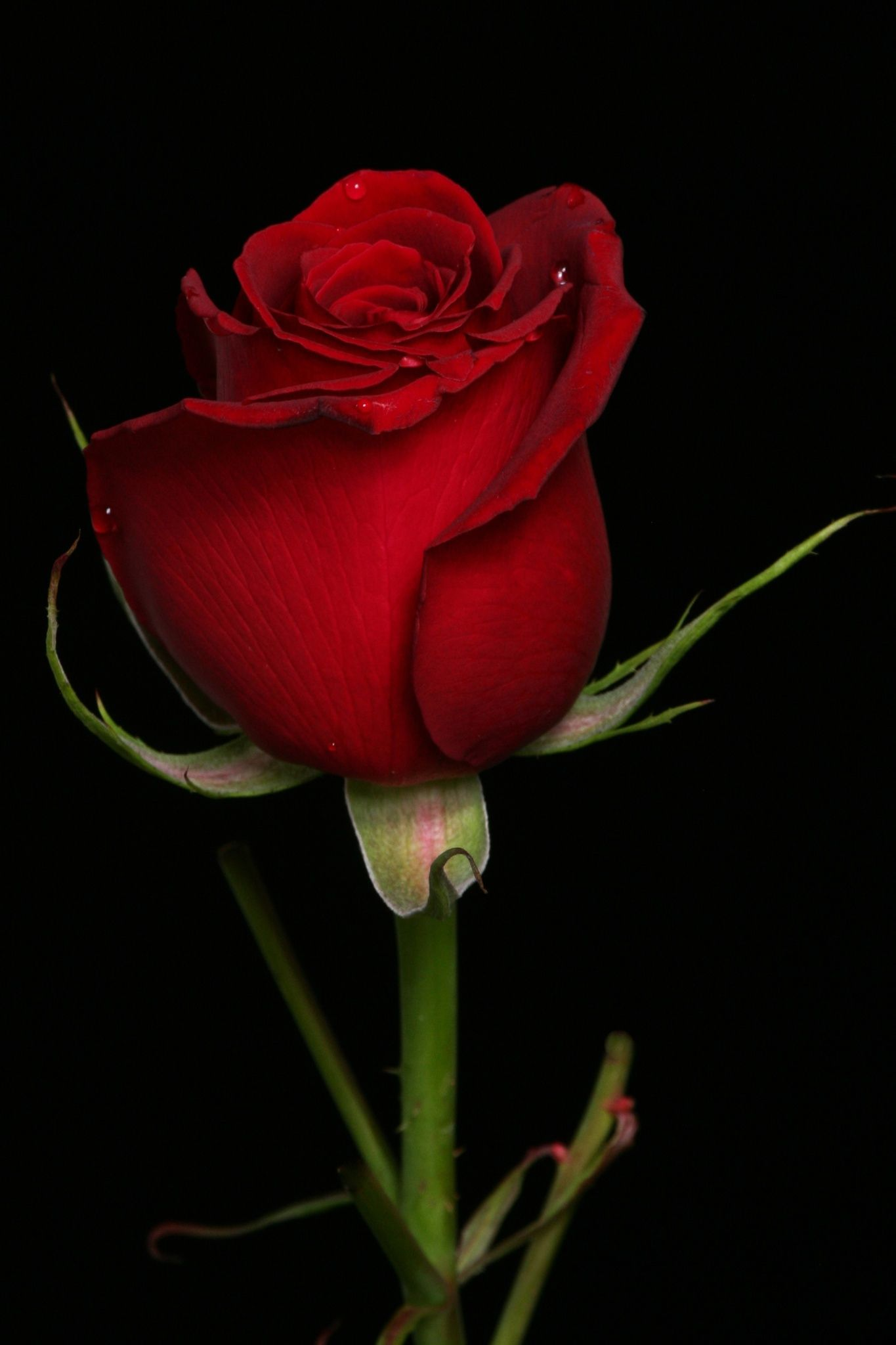 Rose in heart tone by Cristobal Garciaferro Rubio on 500px | Rose ...