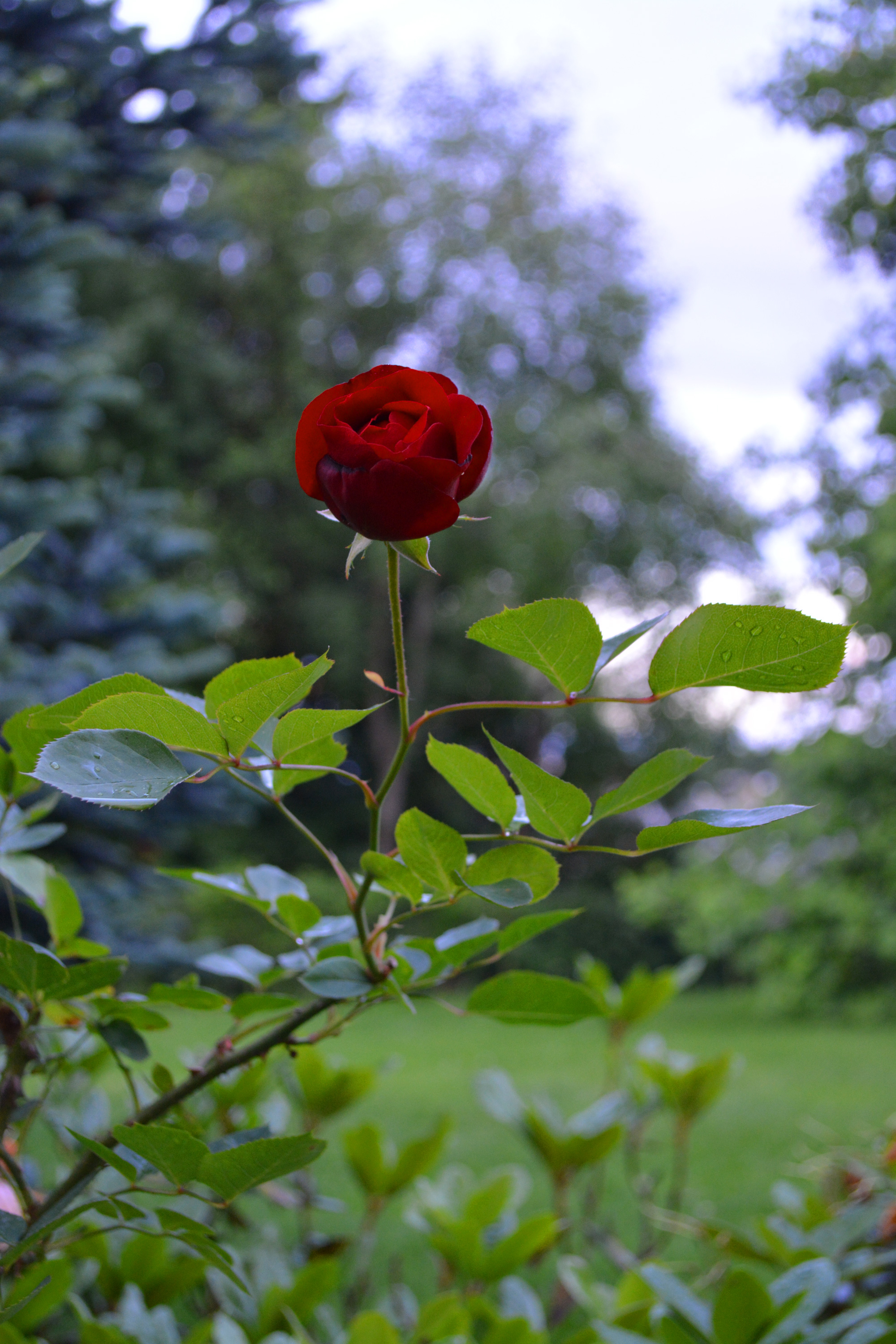 Single red rose, Anniversary, Rain, Nature, One, HQ Photo