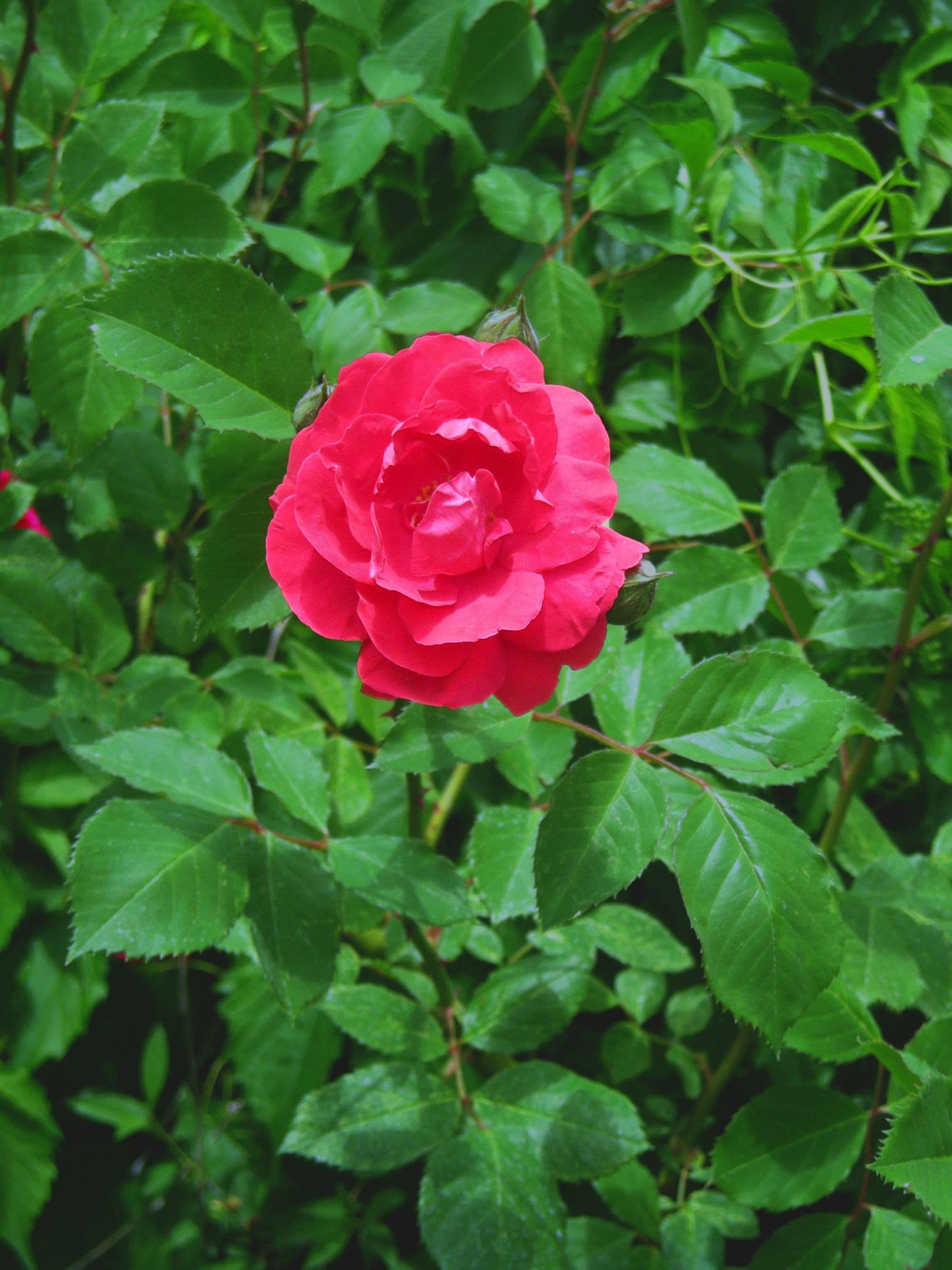 Free Photo Single Rose Single Rose Red Free Download Jooinn