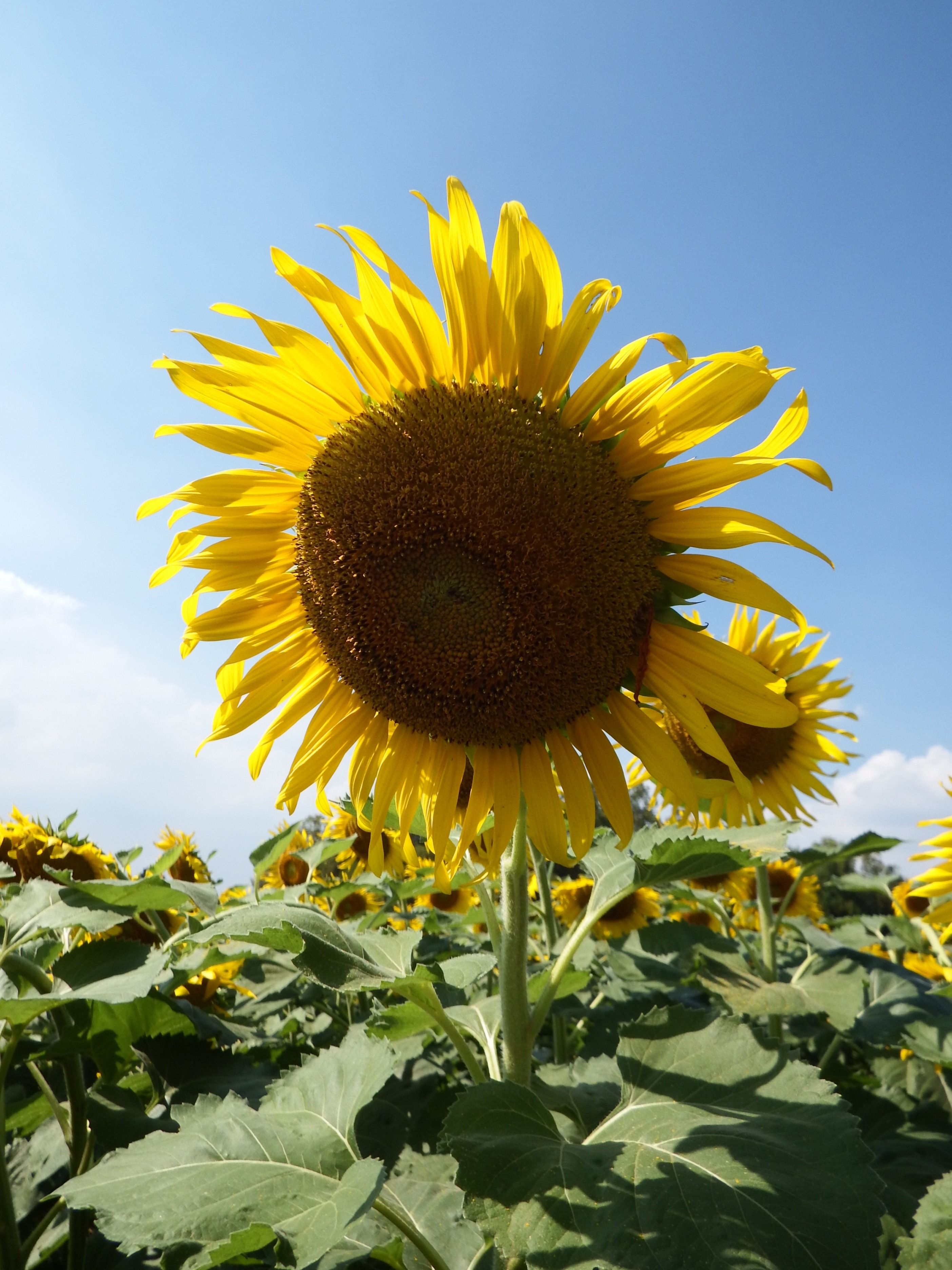 Single sunflower on blue sky background photo