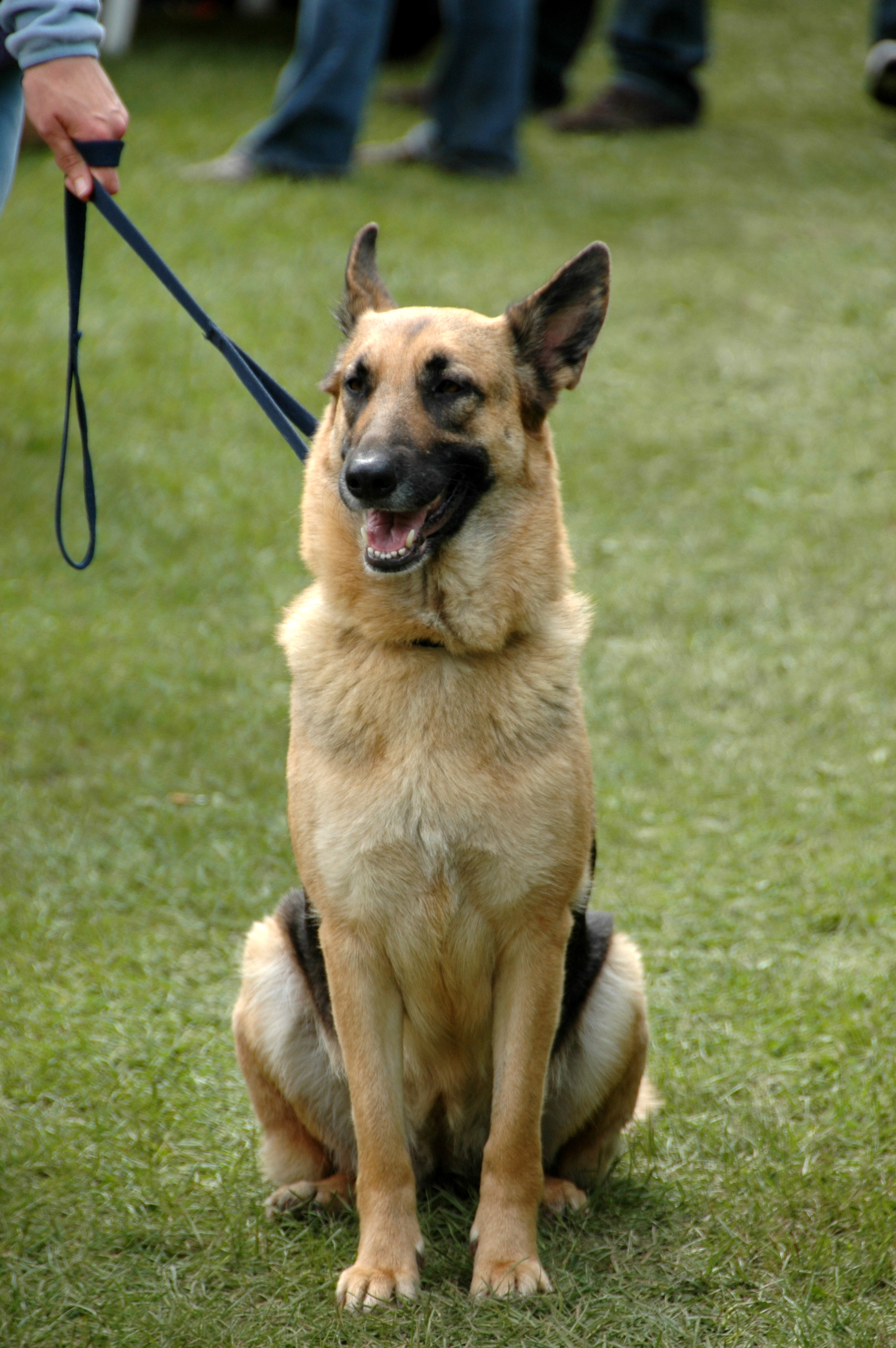 File:German Shepherd Dog sitting leash.jpg - Wikimedia Commons