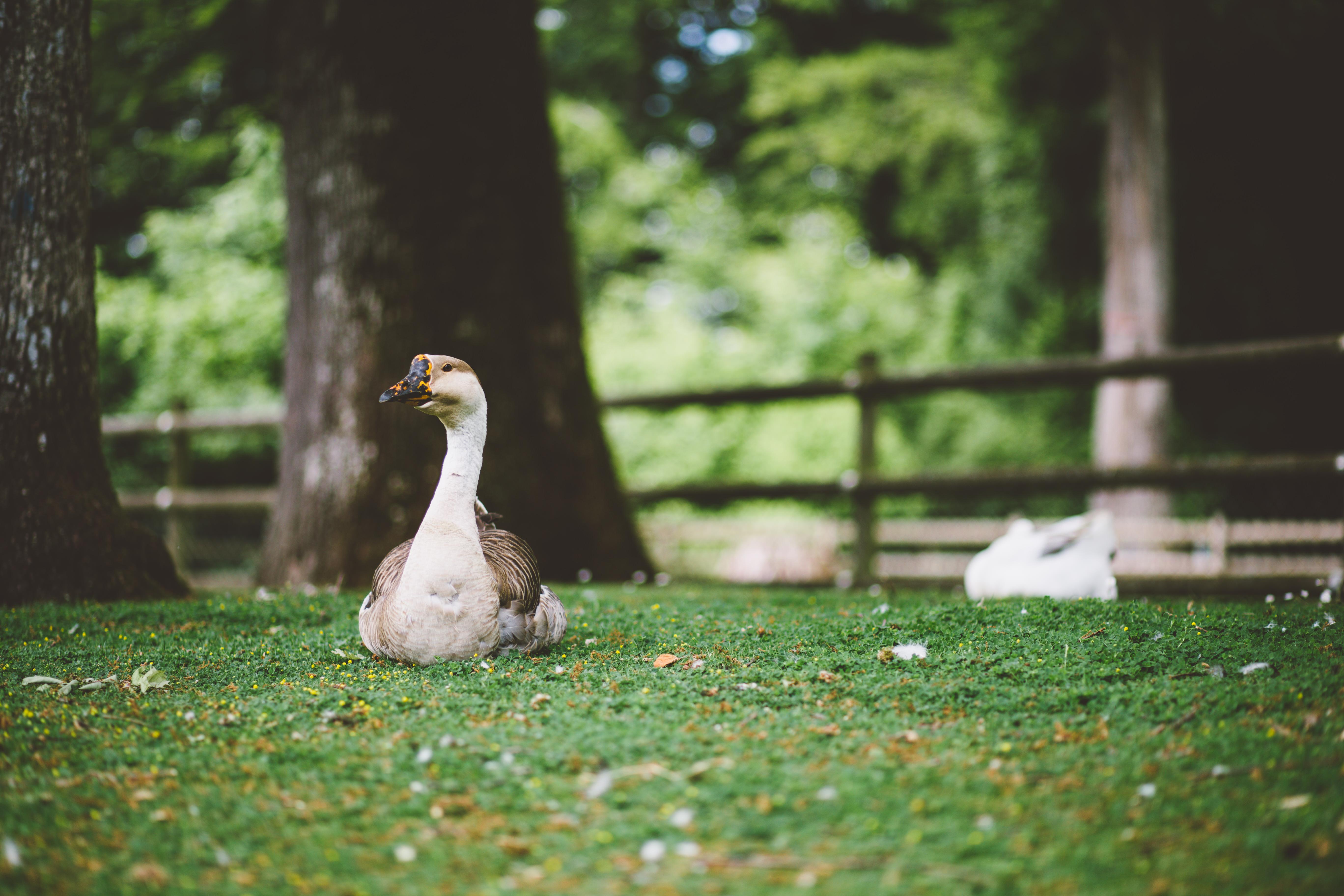Sitting Duck, Bird, Duck, Park, Plants, HQ Photo