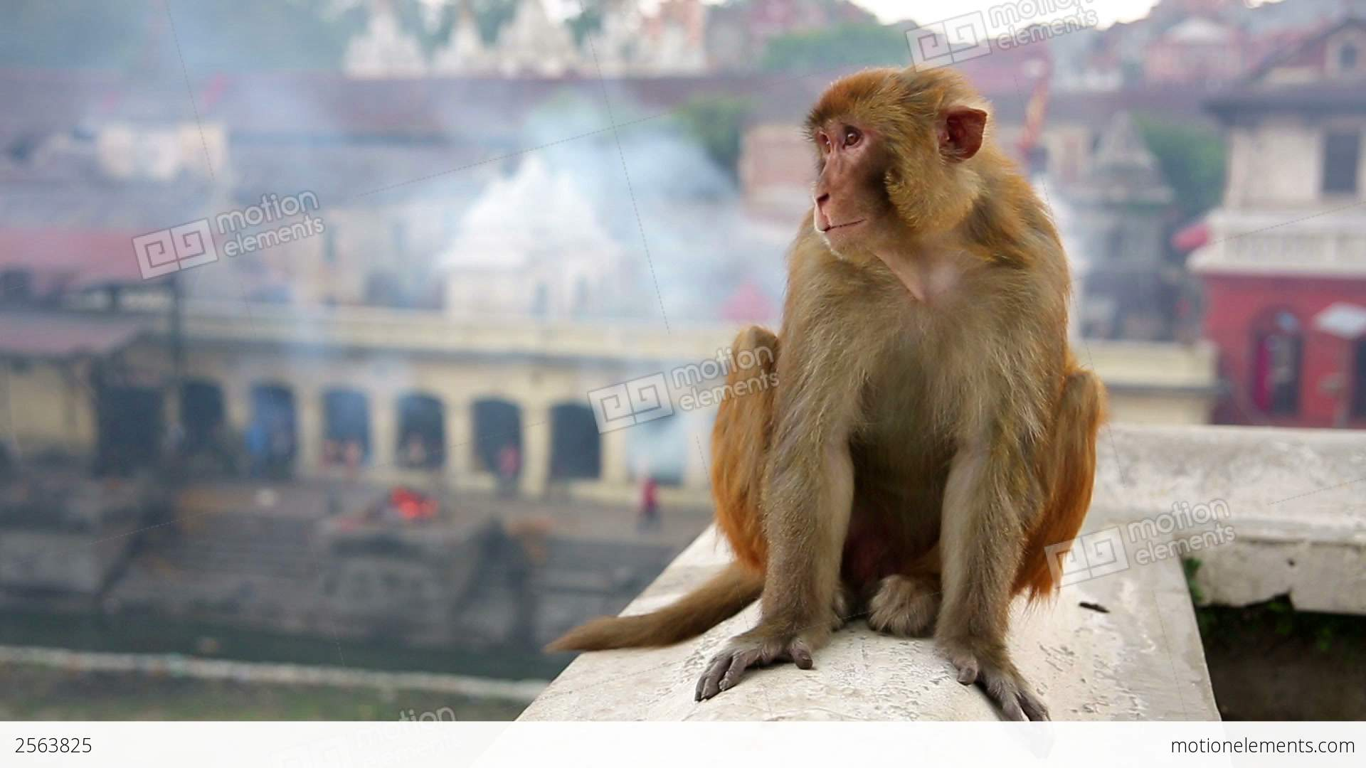 Monkey Sitting On Wall Stock video footage | 2563825