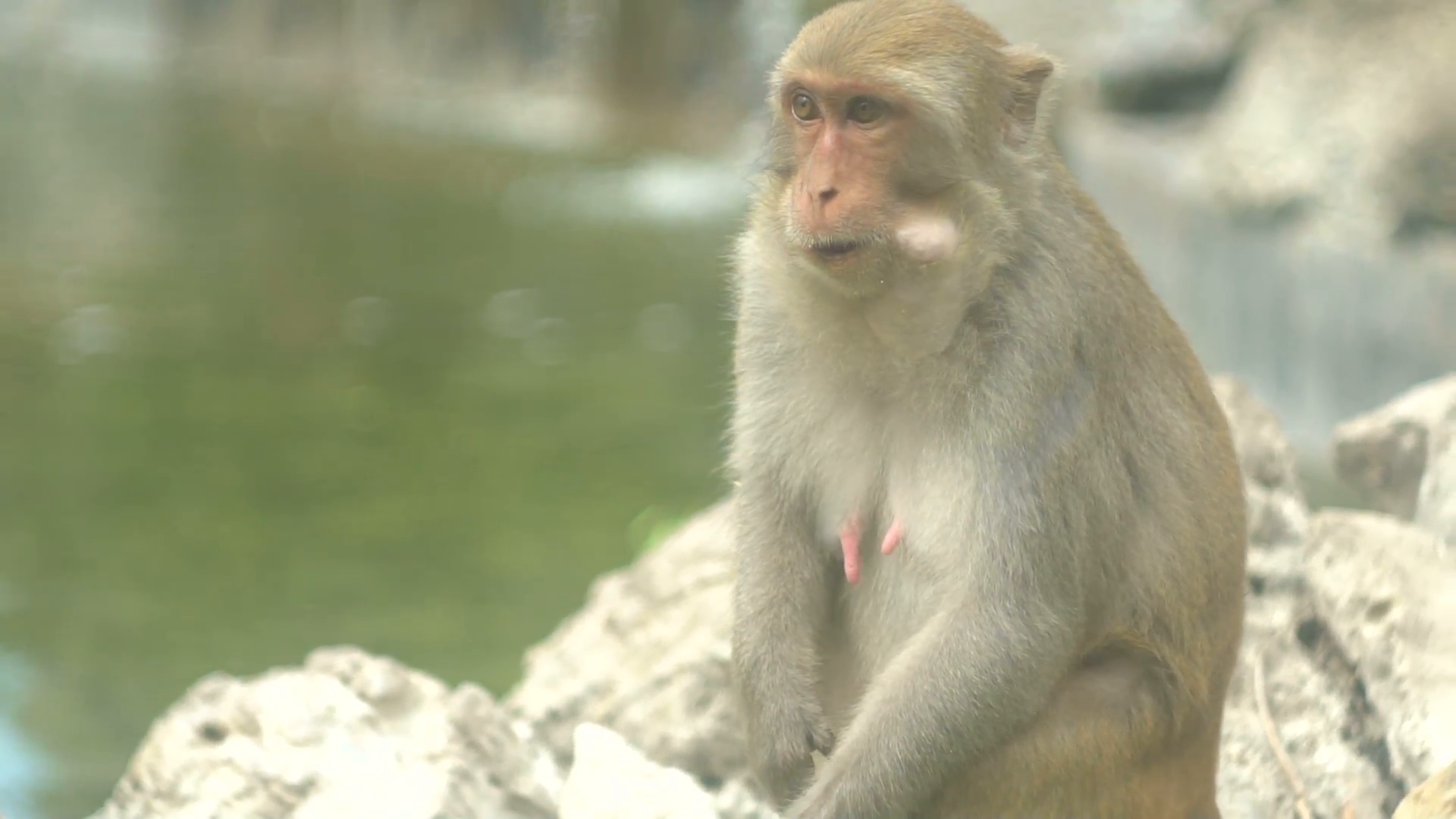 Monkey sitting on a rock 1 Stock Video Footage - VideoBlocks