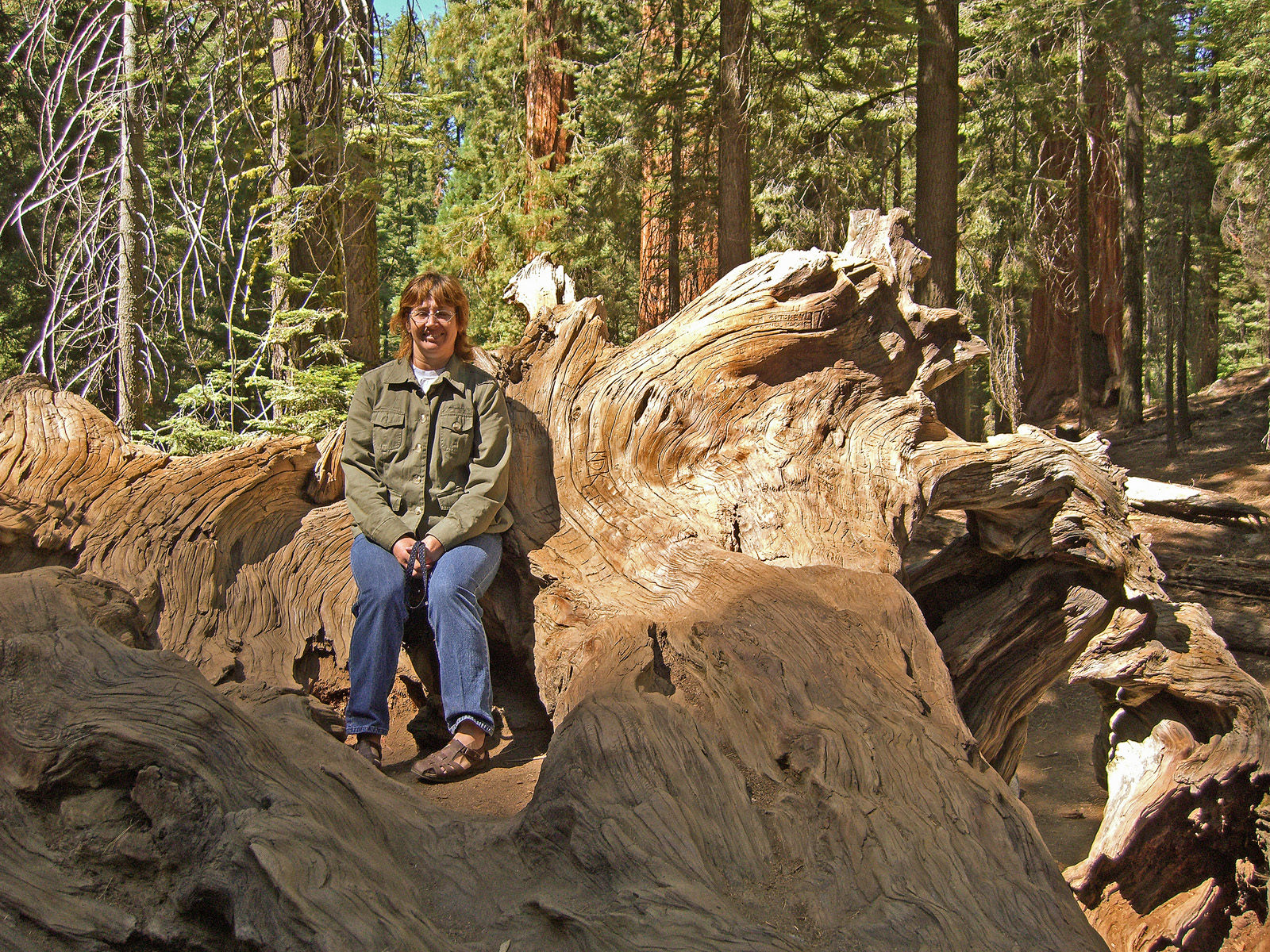 Sitting on a stump in the giant sequoias photo