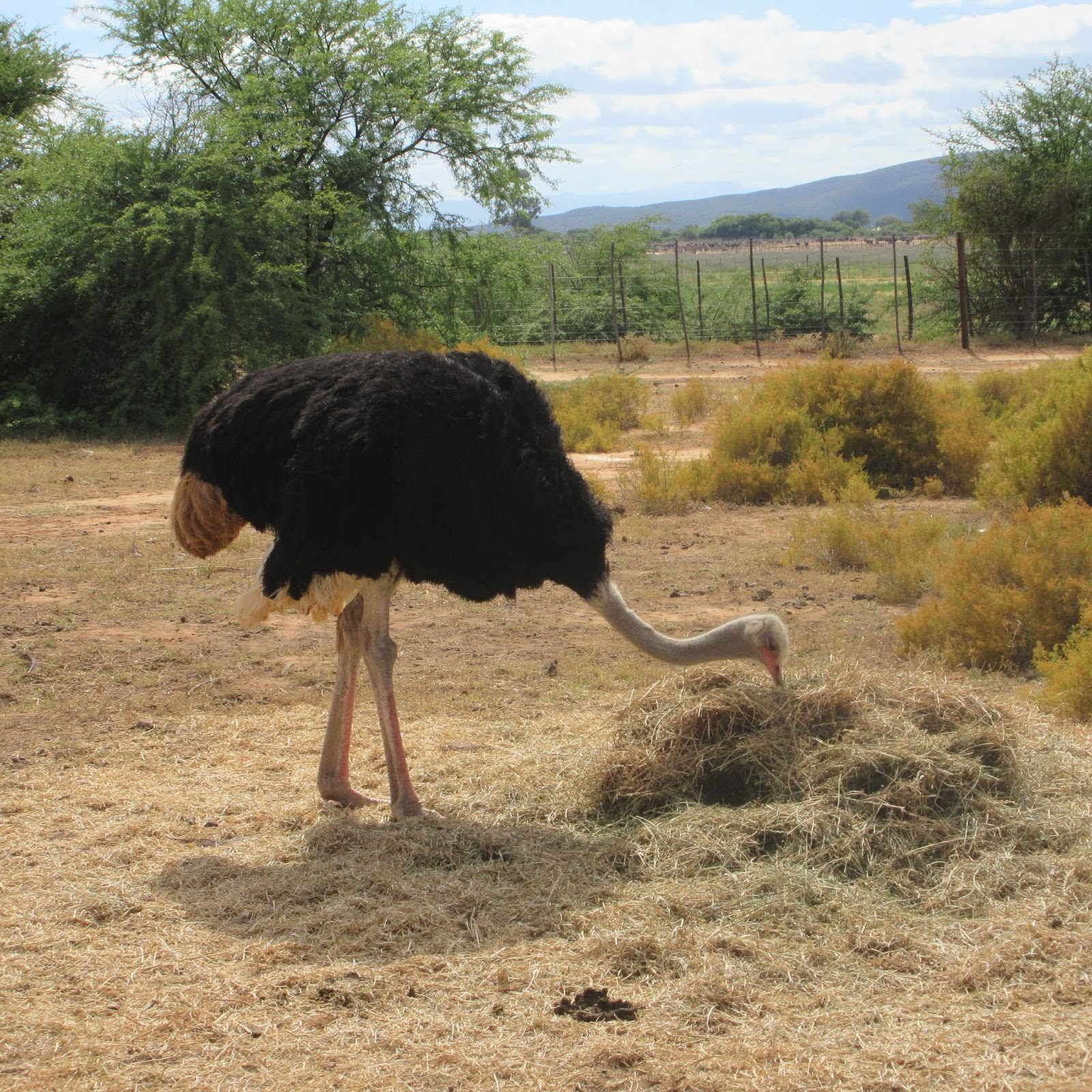 Kings adventures: Ostrich Farm; Route 60; Cape Town - Thursday ...