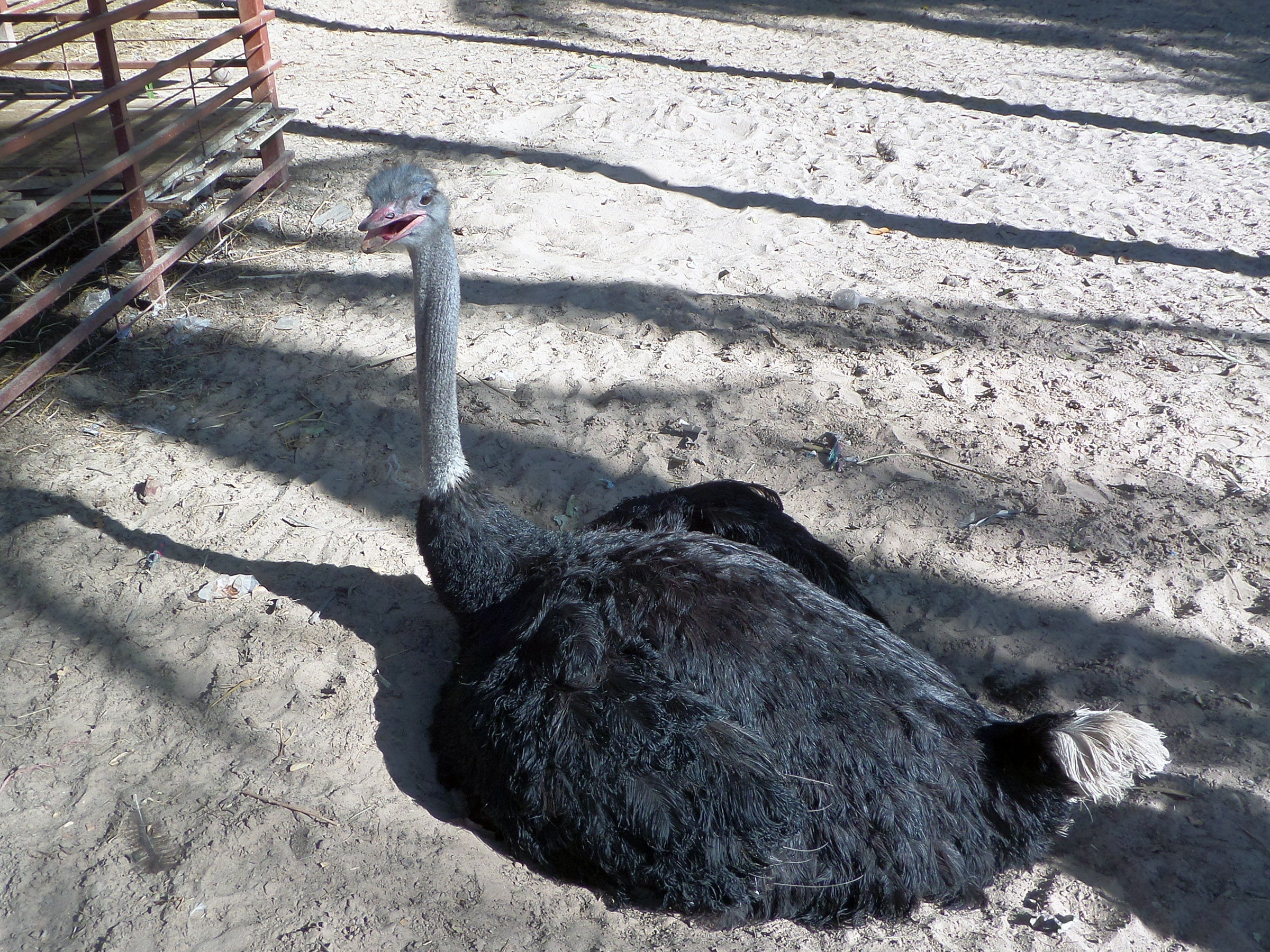 Sitting ostrich, Africa, African, Bird, Flightless, HQ Photo