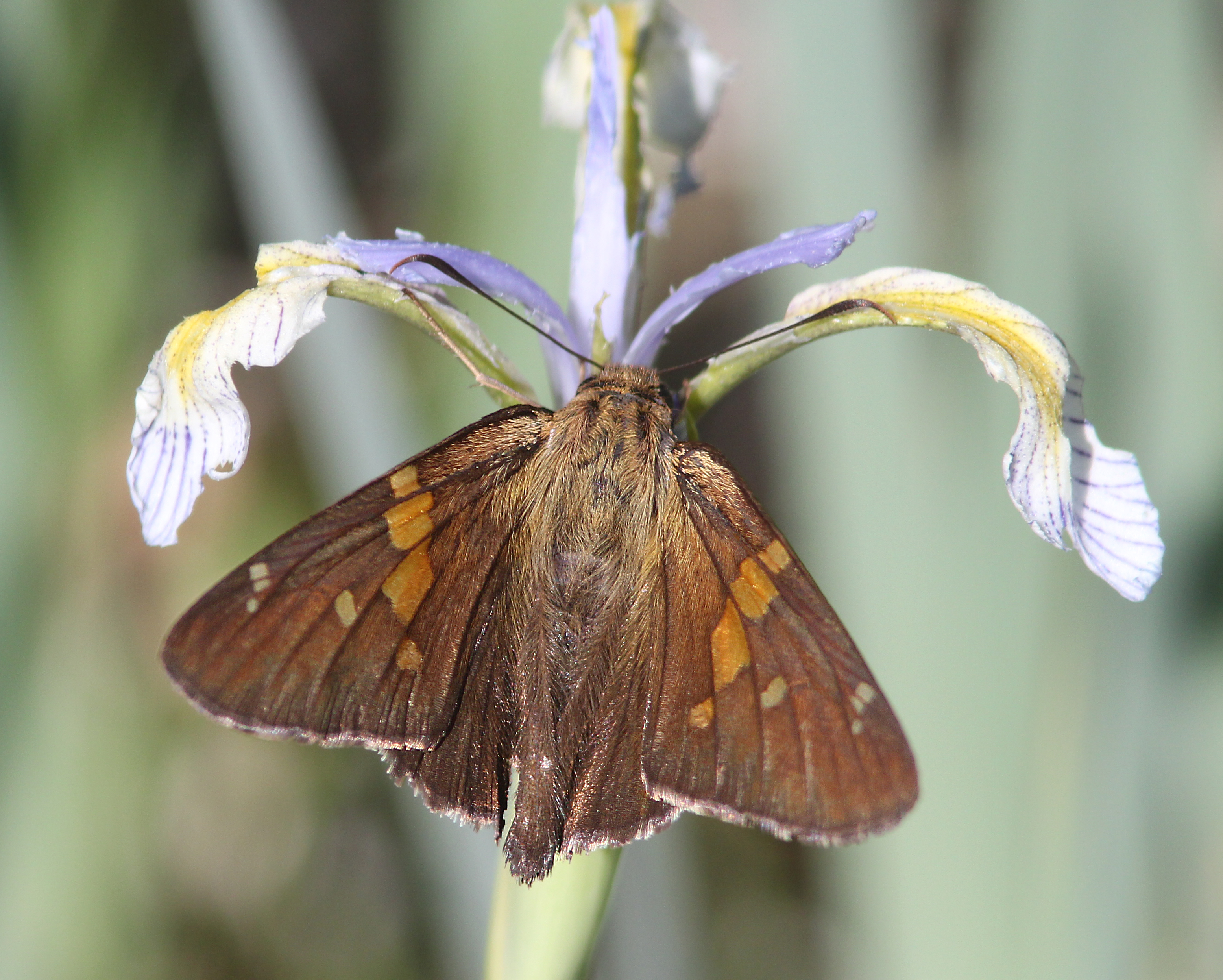 SKIPPER, SILVER-SPOTTED(6-14-13) 8500 ft, alpine divide c g, 4 m south of alpine, apache co, az -01, Animal, Butterfly, Depth of field, Field, HQ Photo