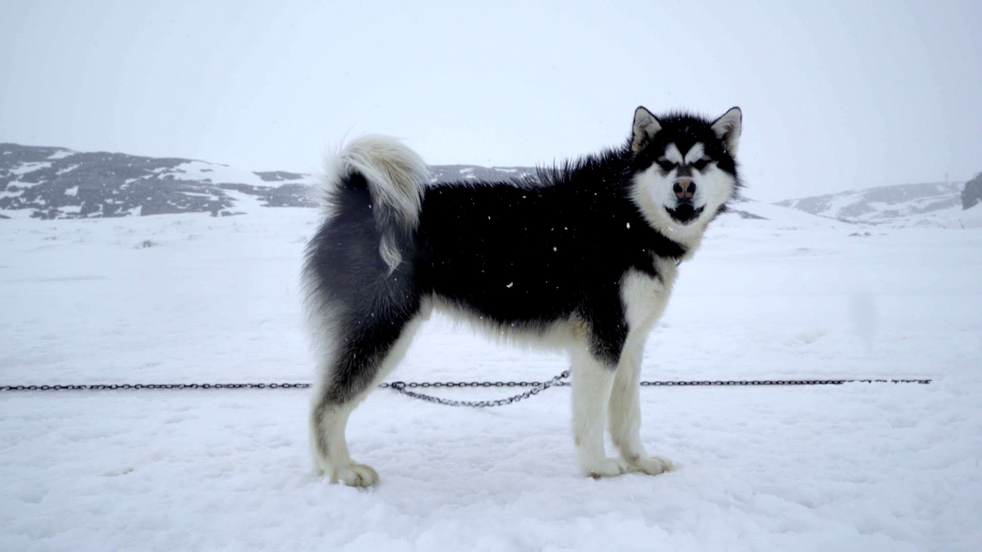 Sled dogs photo