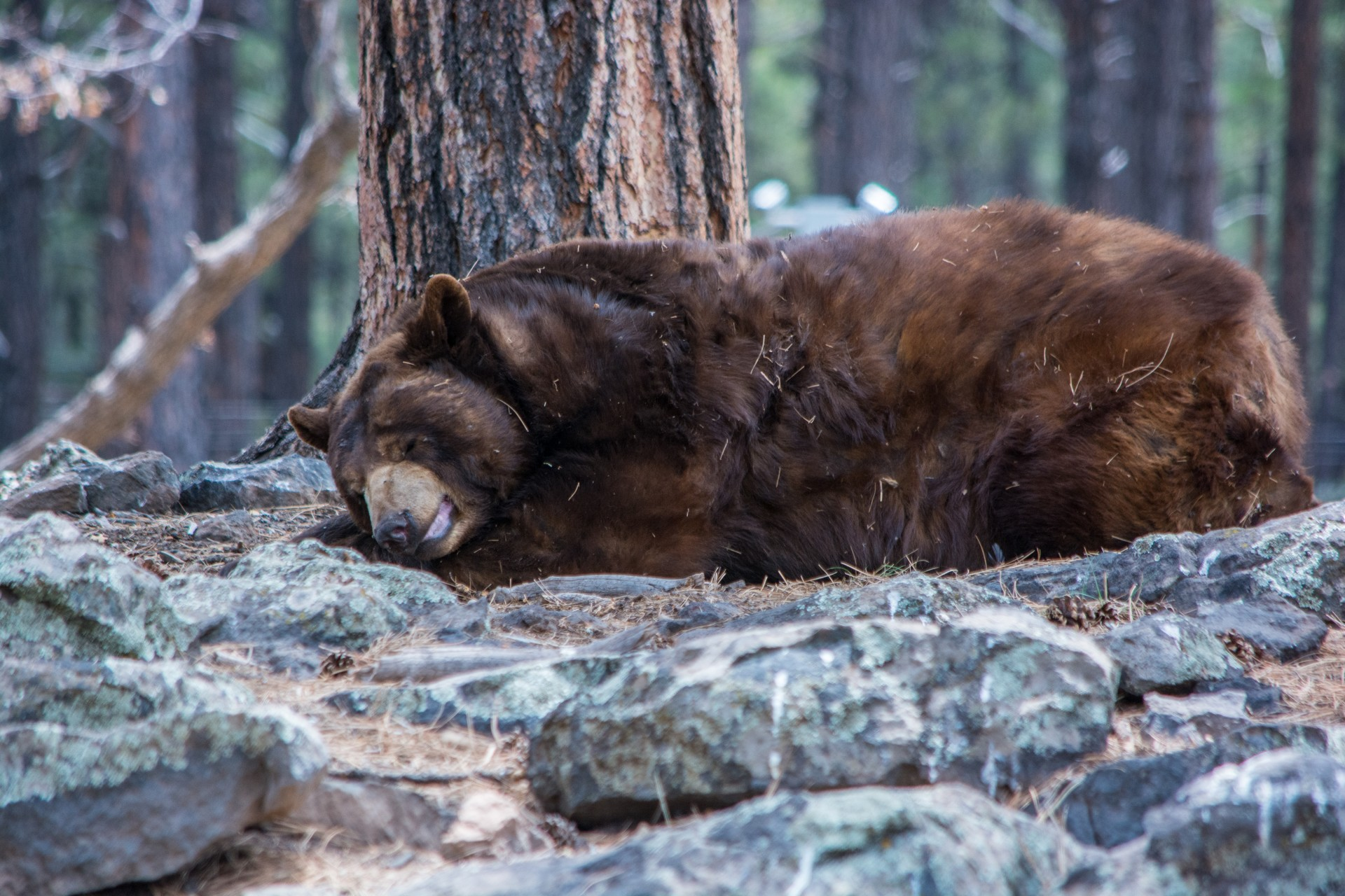 Sleeping Bear Free Stock Photo - Public Domain Pictures