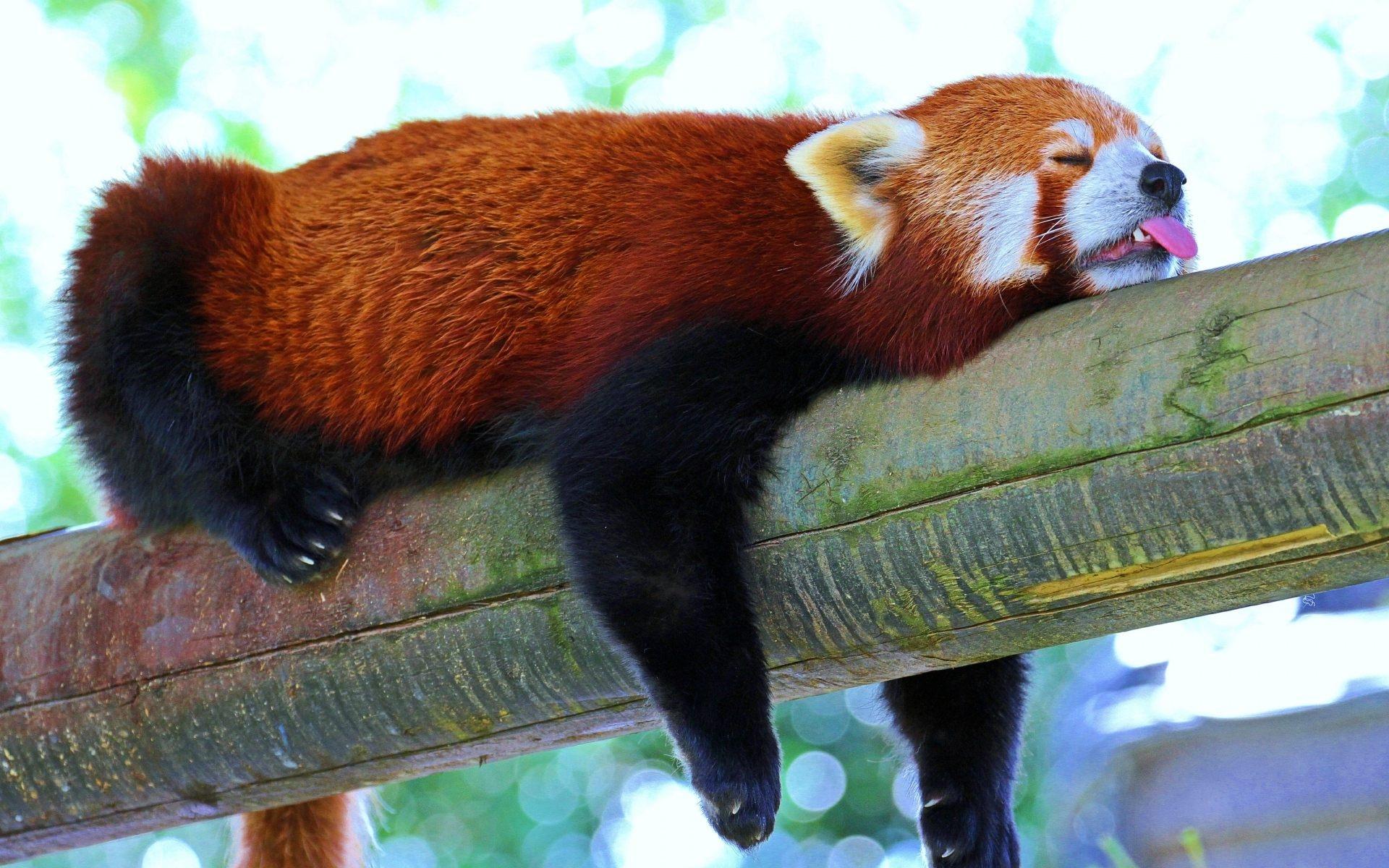 Sleeping bear funny looks image - Get HD Wallpapers Free