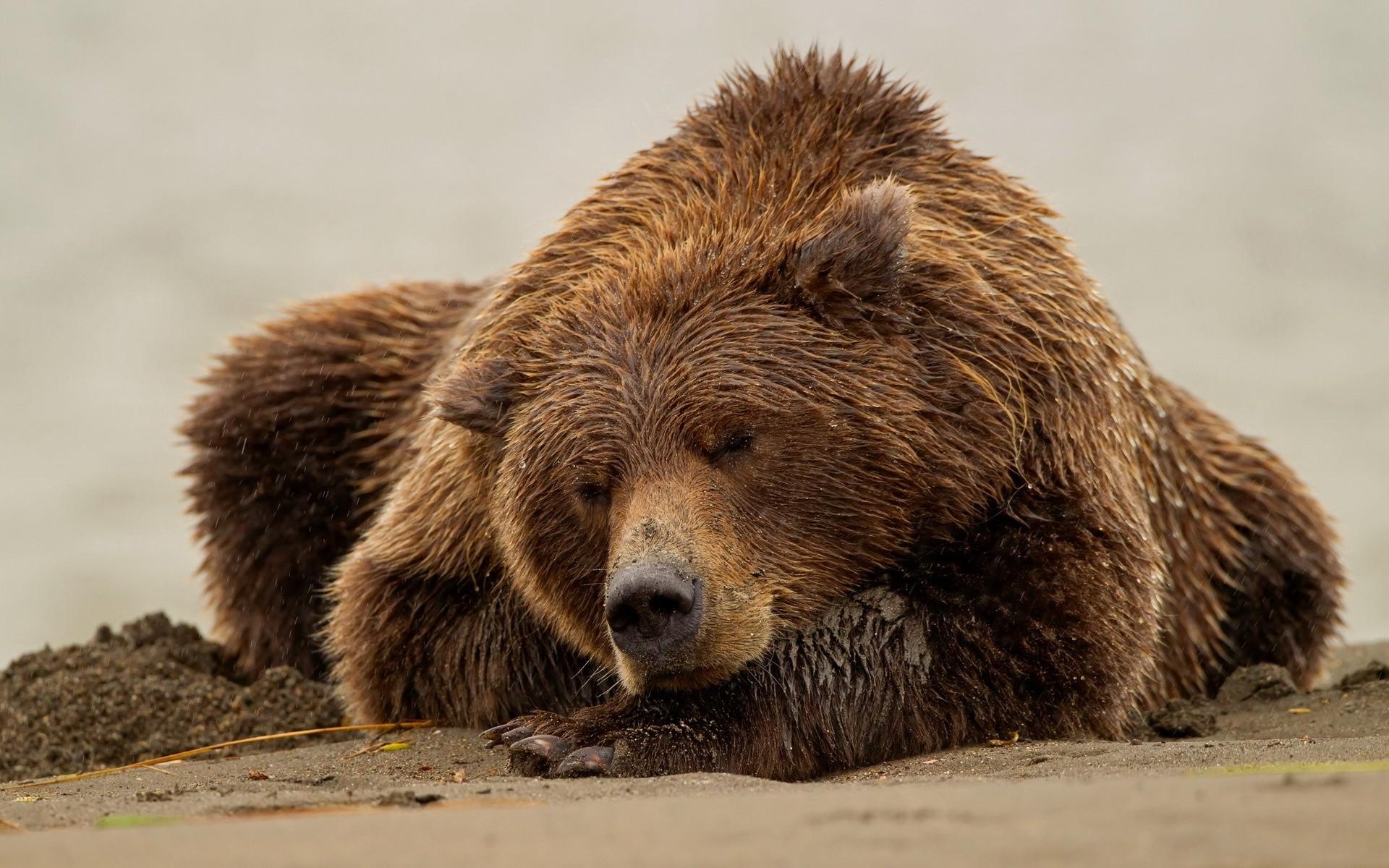 Animals: Sleeping Bear Wallpaper Wide 1920x1200 for HD 16:9 High ...