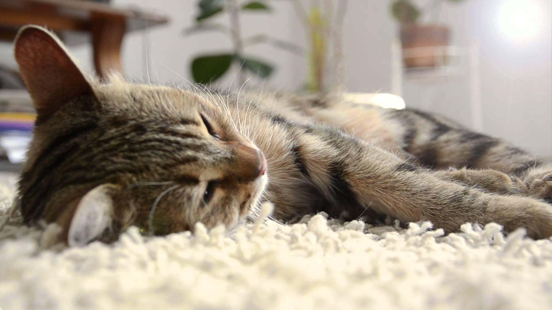 Cute Sleeping Cat Purring [HD] - YouTube