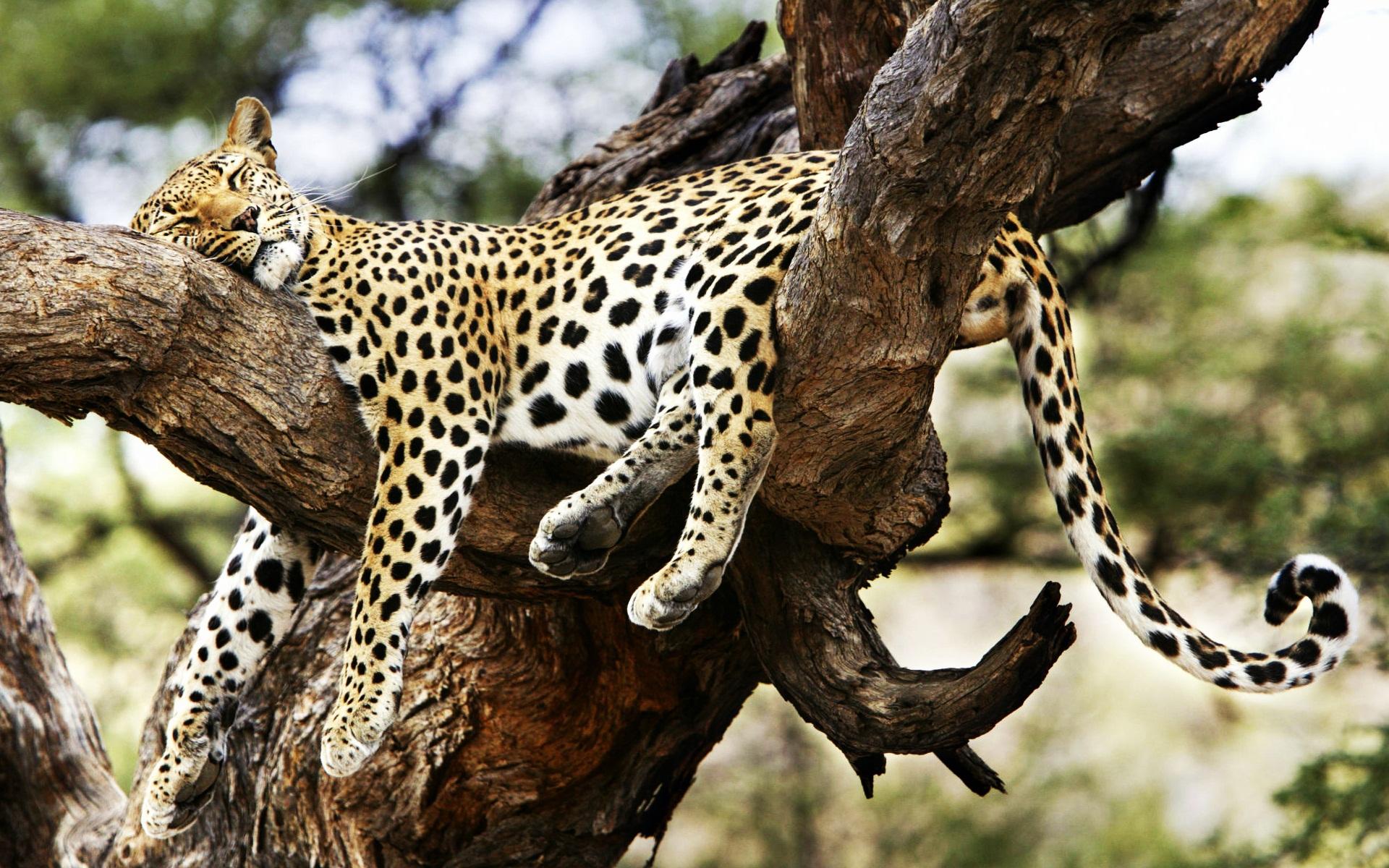 Sleeping Cheetah Facebook Covers | Wallpapers HD