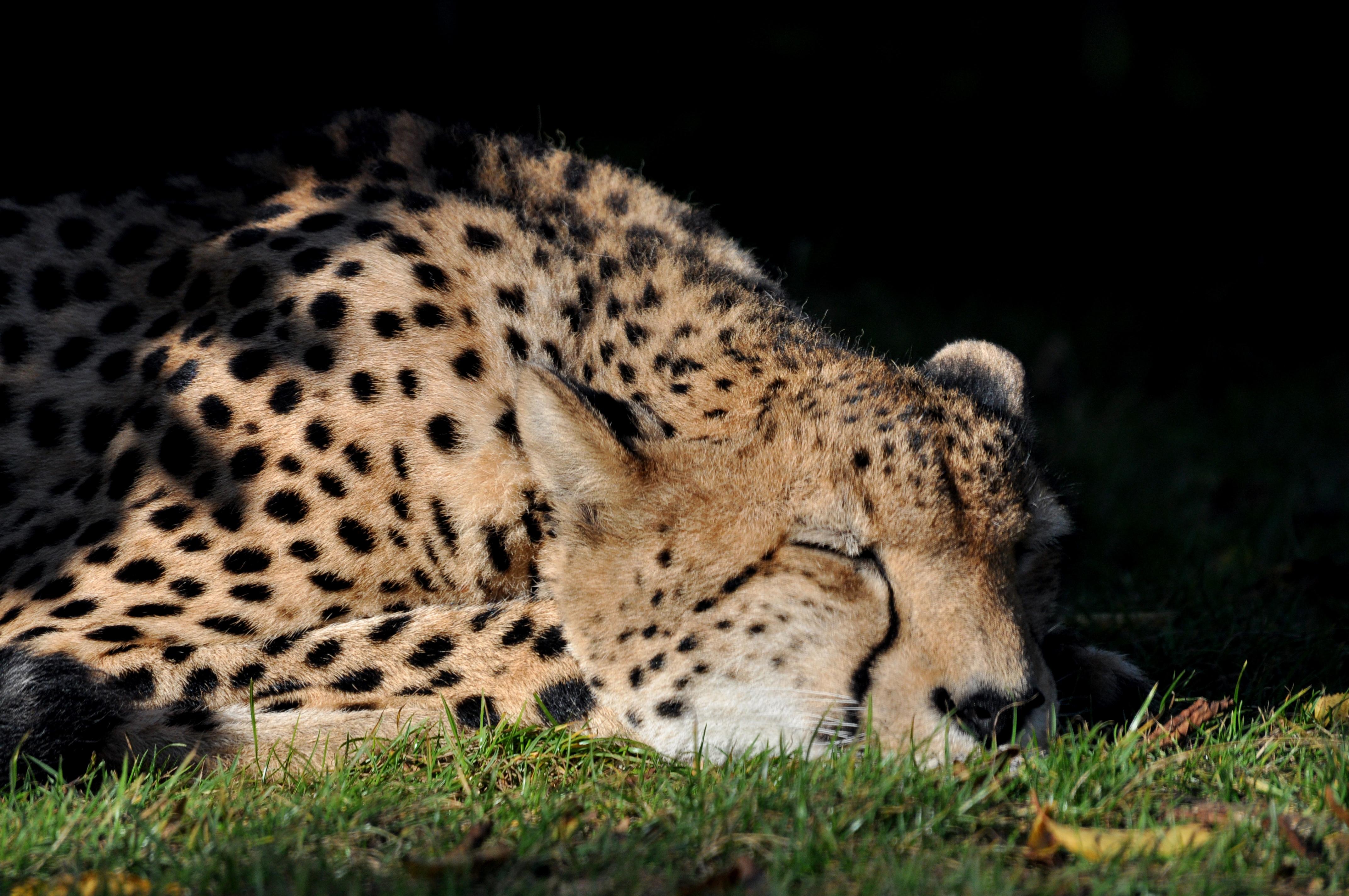 free photo sleeping cheetah resting lying sleeping free