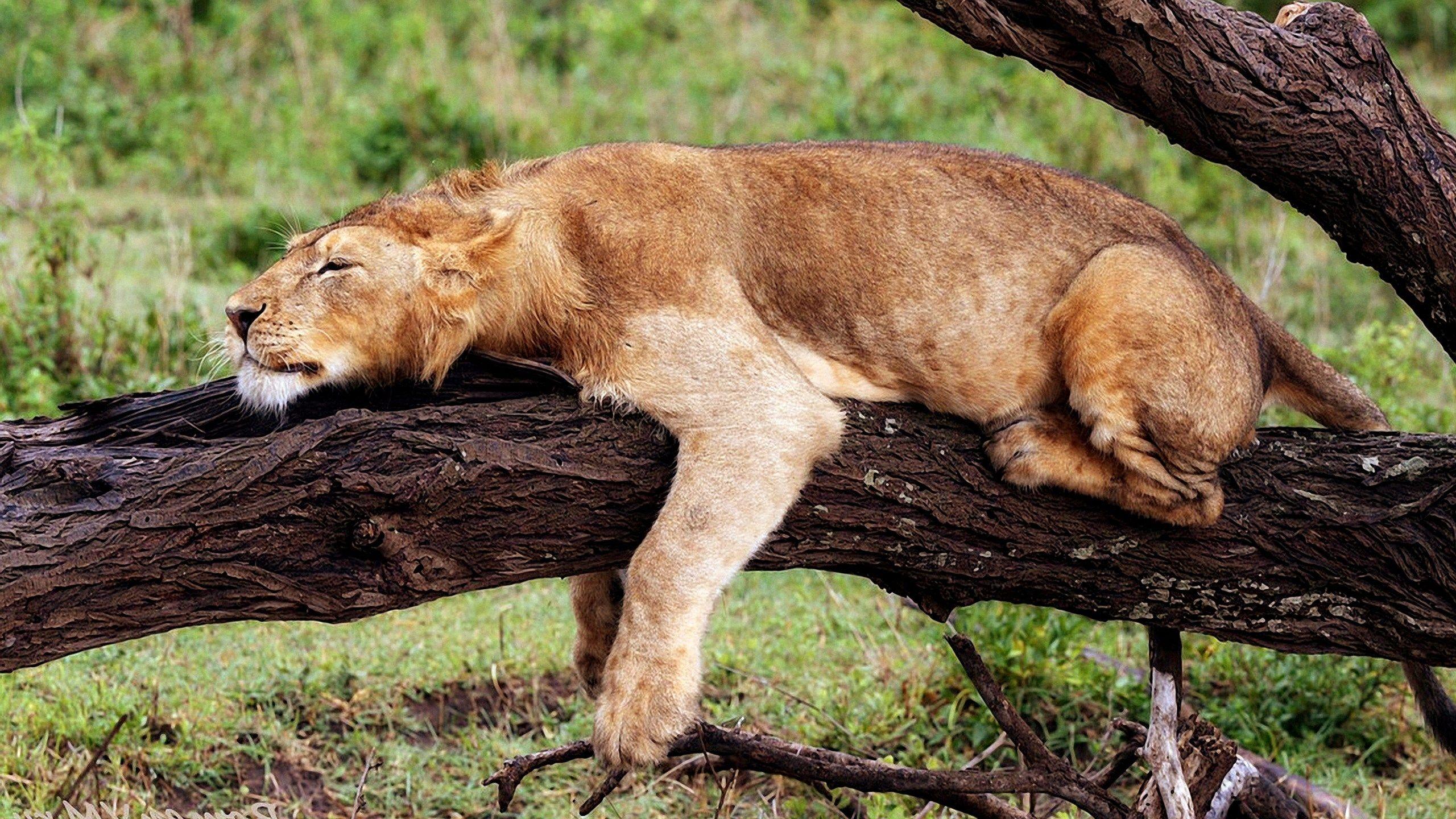 sleeping lioness picture | ololoshenka | Pinterest