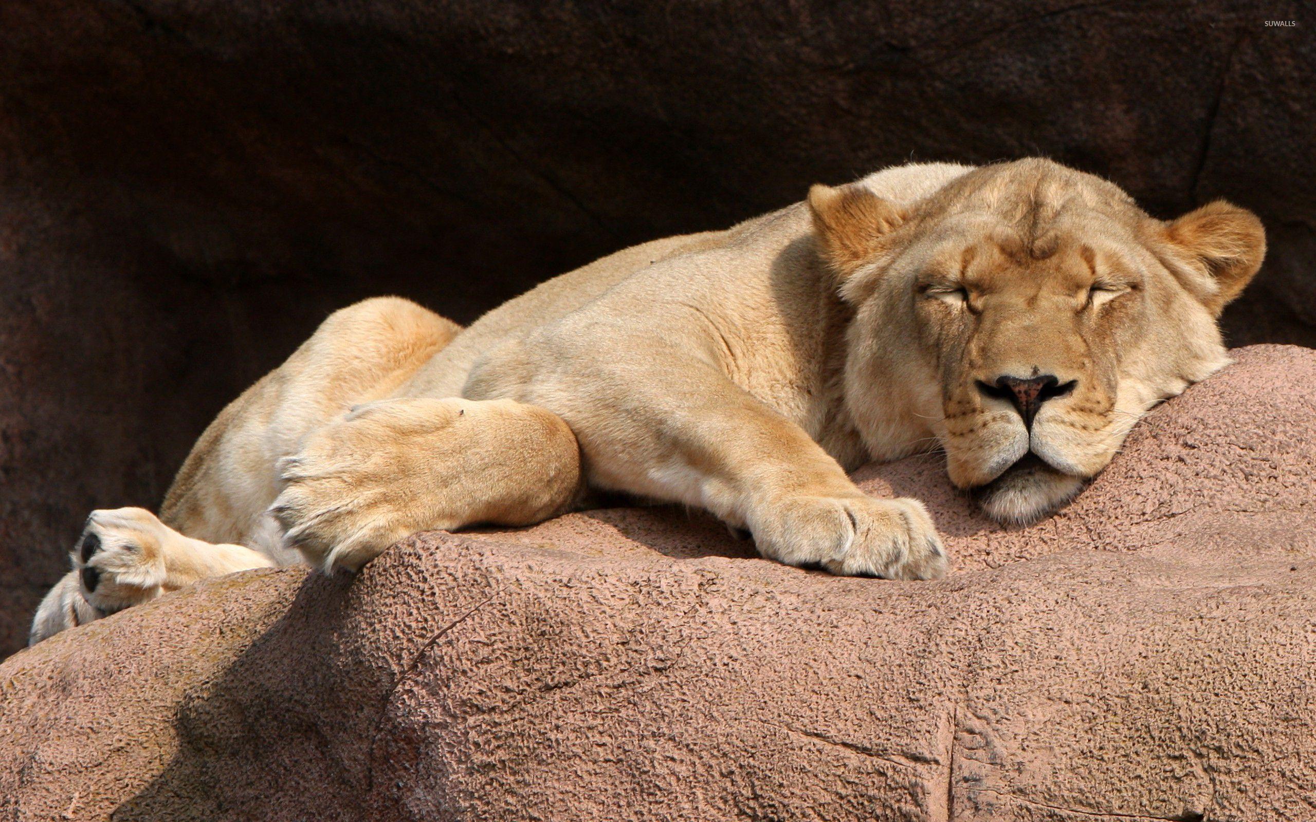 Lioness sleeping wallpaper - Animal wallpapers - #33547
