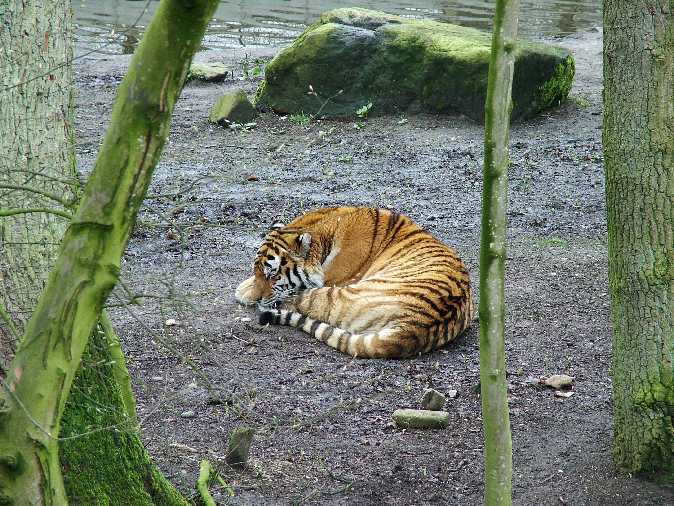 File:Sleeping tiger.jpg - Wikimedia Commons