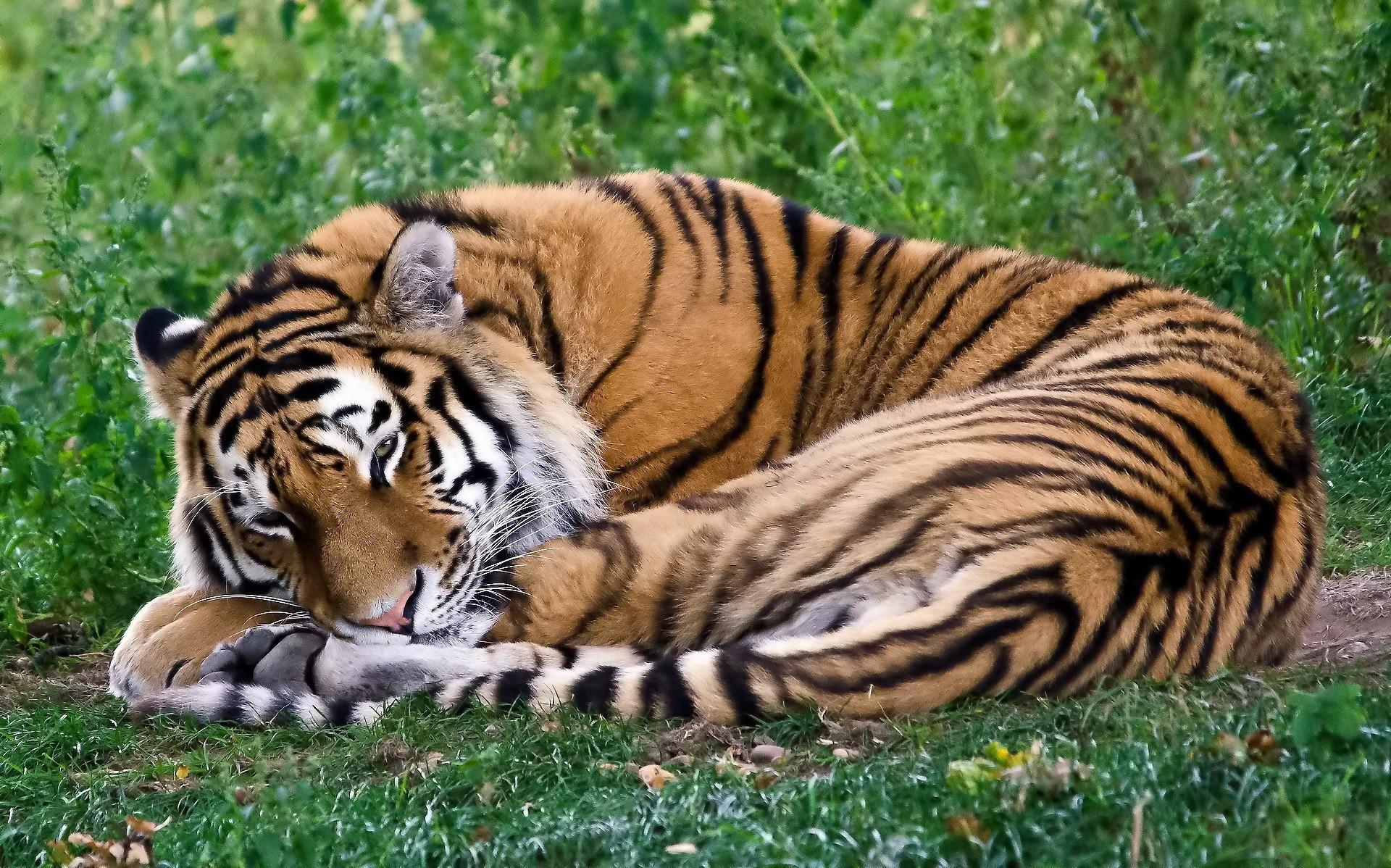 Sleeping Tiger Wallpaper HD 19530 - Baltana