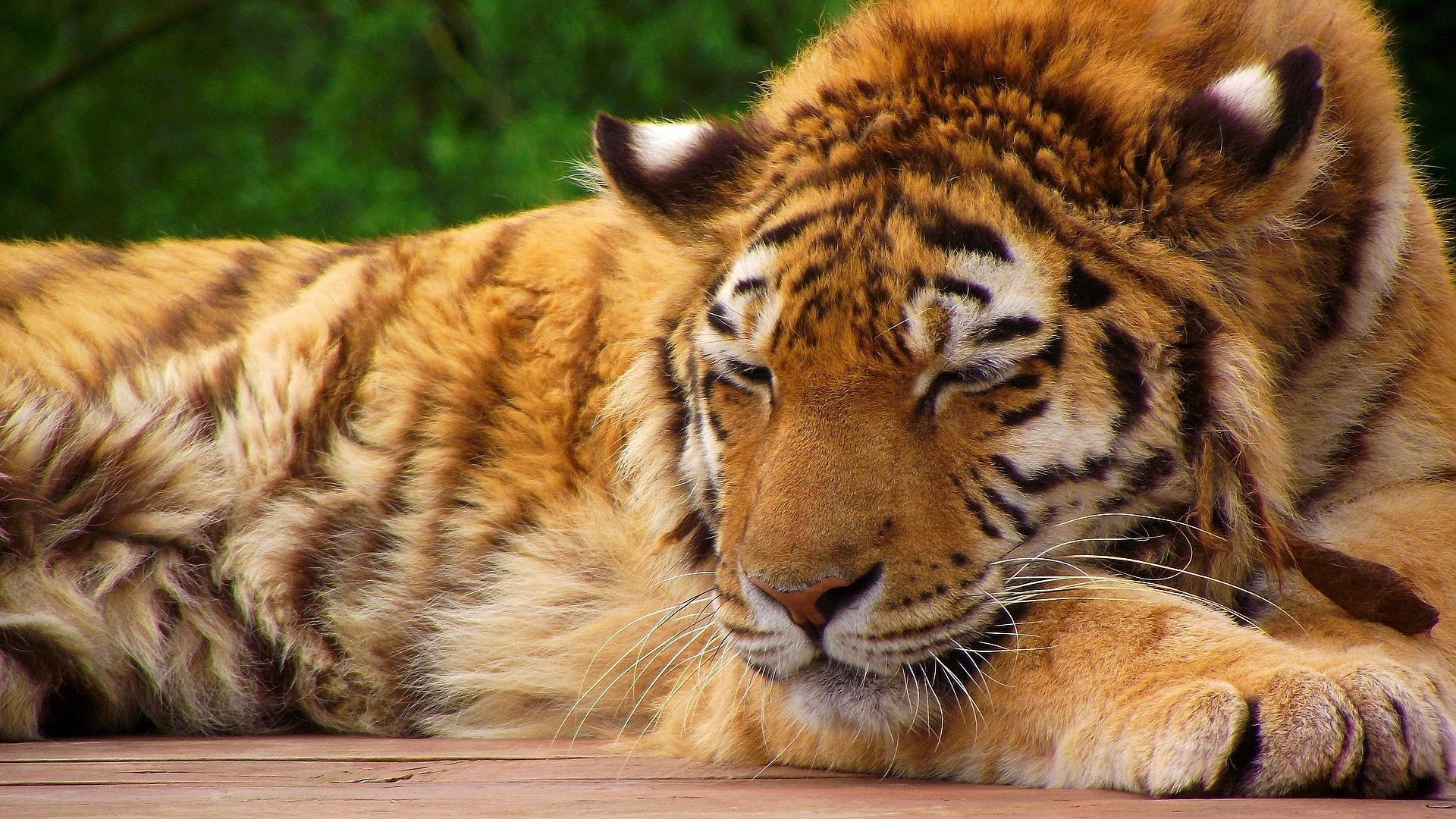 Sleeping tiger pictures wallpaper | (86819)