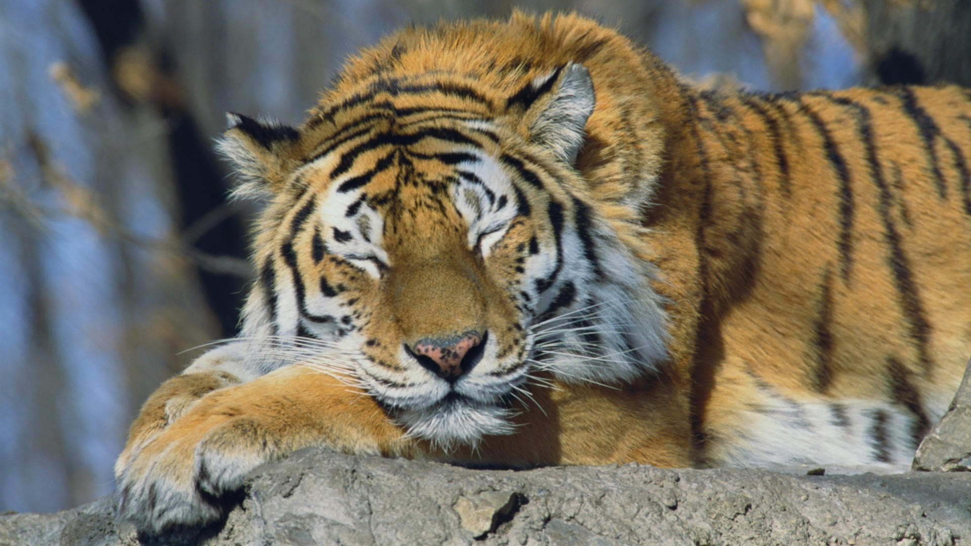 Russia siberian tiger animals sleeping tigers wallpaper ...