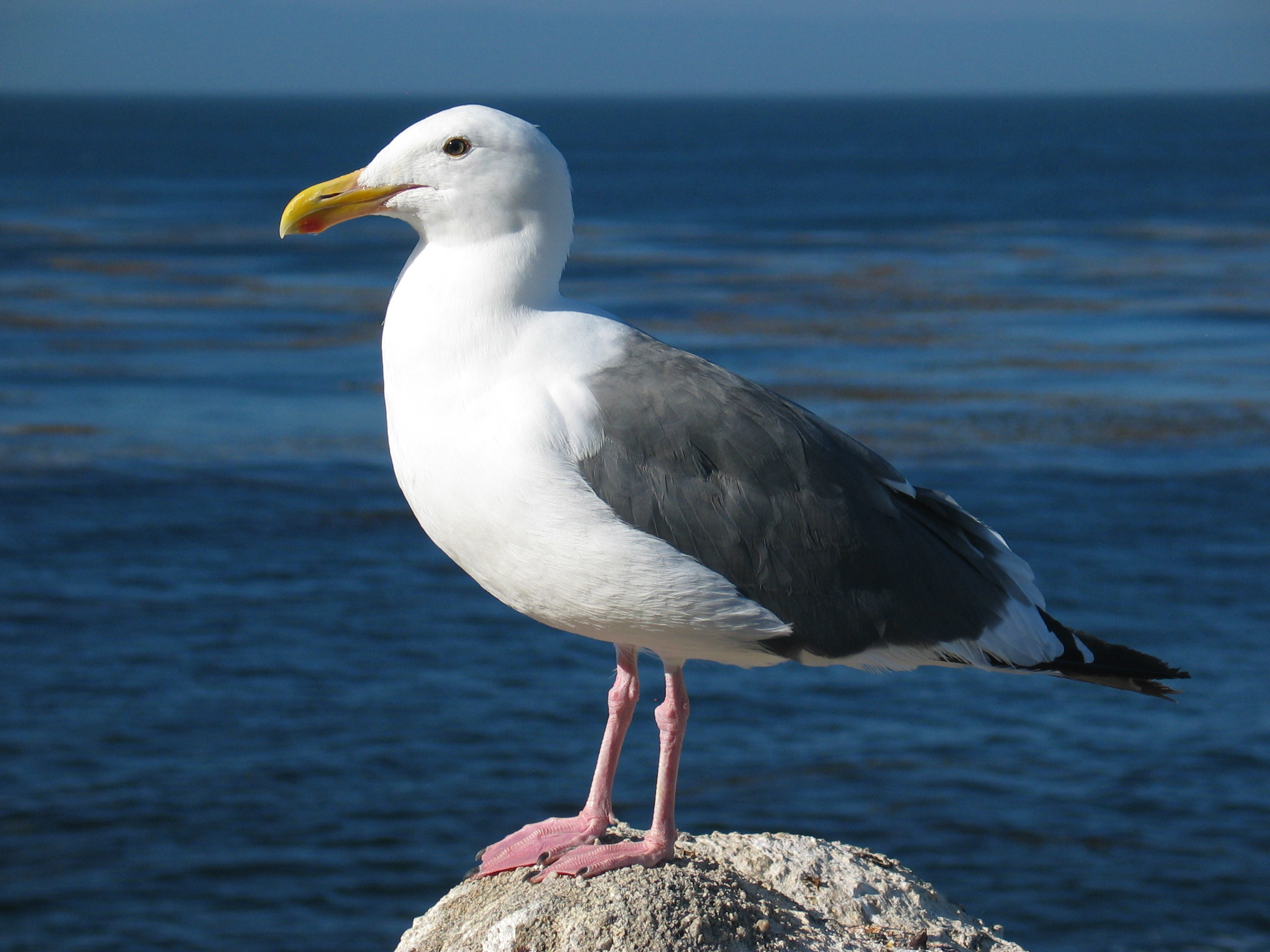 """Oh no!, the Gulls are coming!""""~Julius Caesar, 50BC (not really ..."""