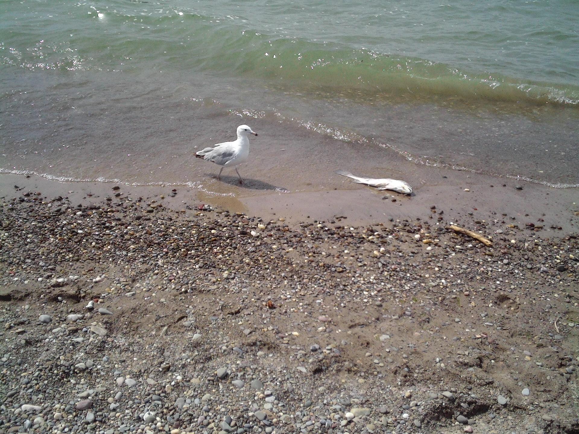 Slick Seagull, Bird, Dead, Fish, Ocean, HQ Photo