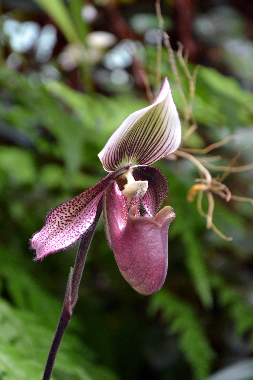Slipper orchid photo
