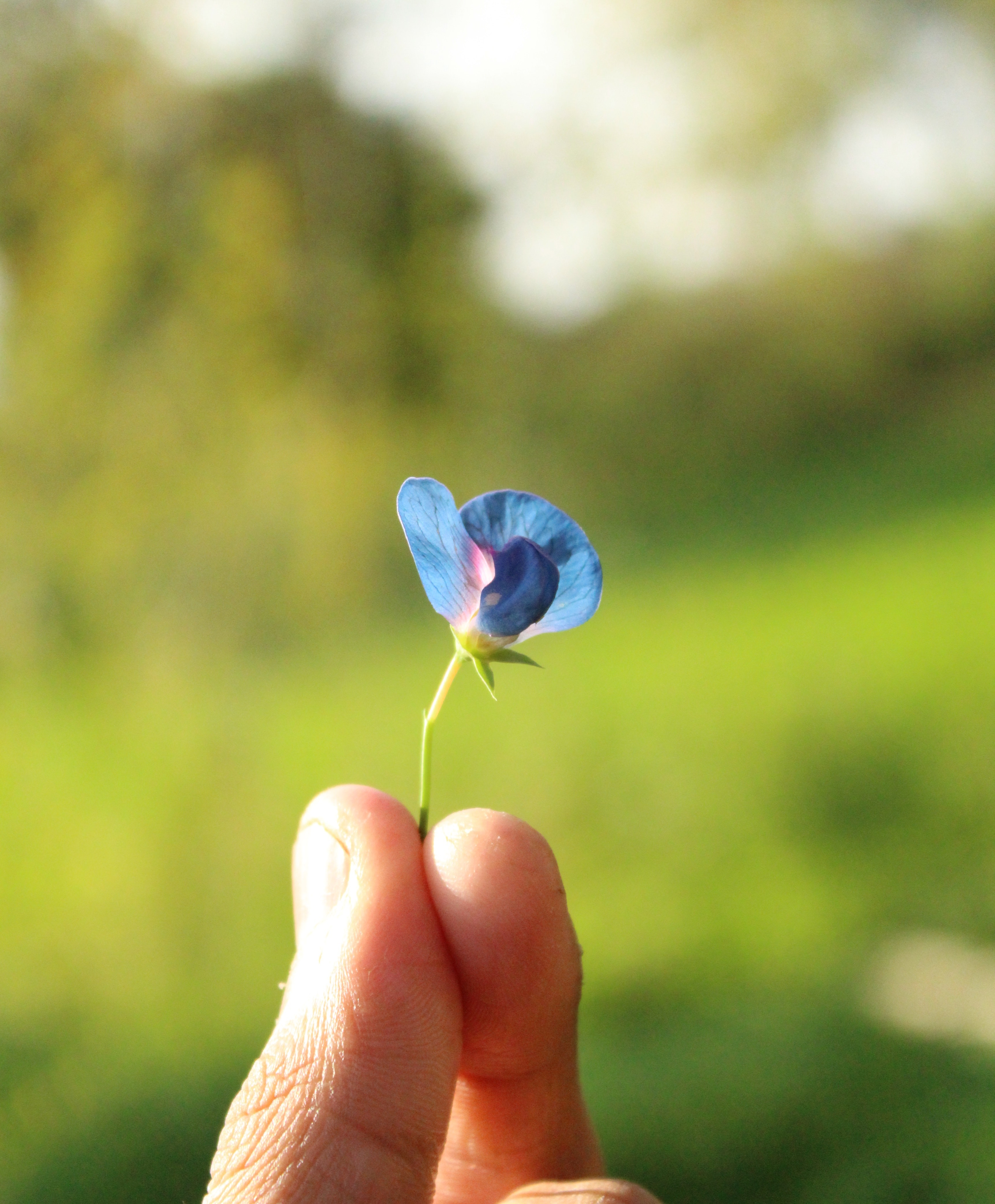 Free photo small blue petaled flower held by persons fingers small blue petaled flower held by persons fingers izmirmasajfo