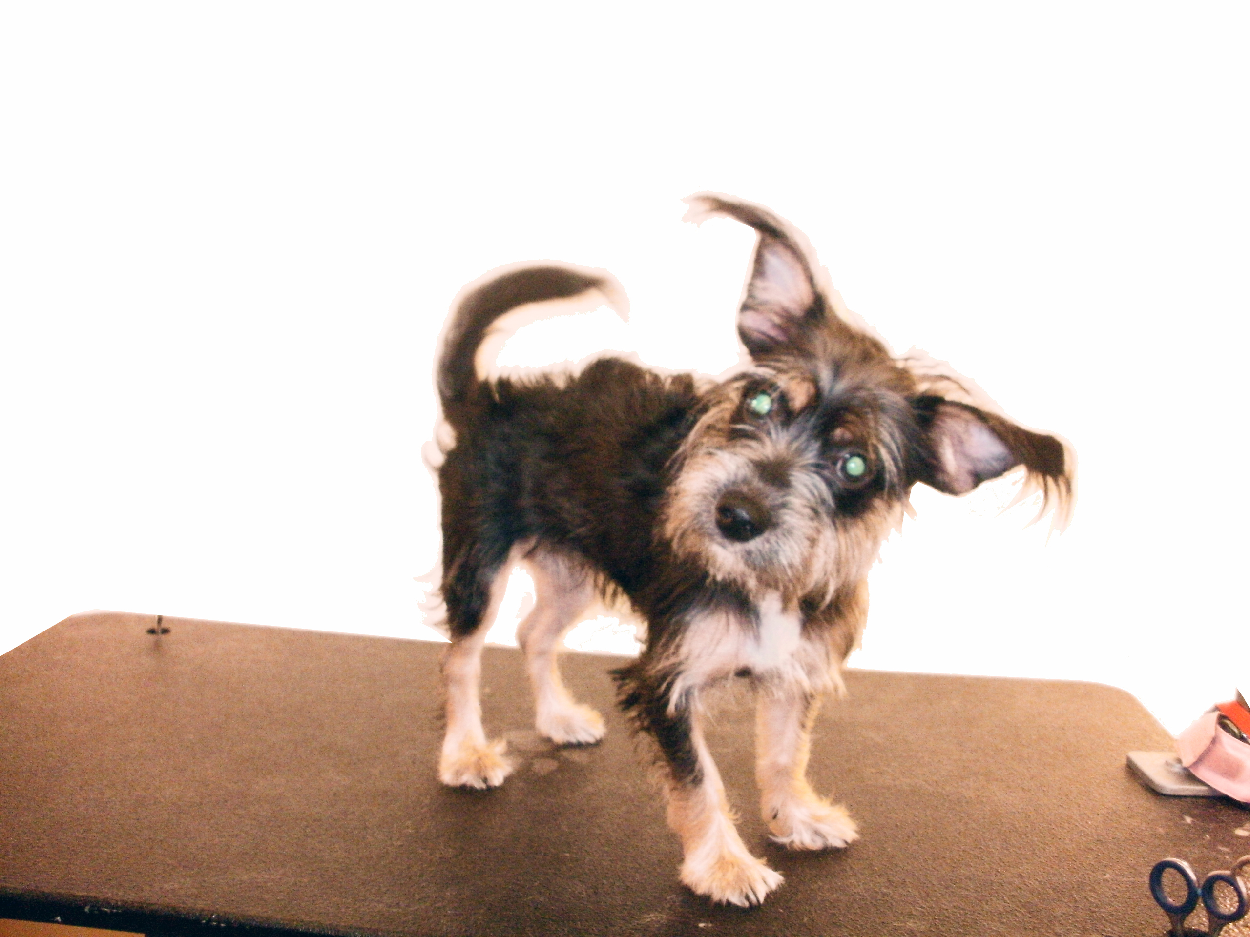 Free Photo Small Dog Pet K9 Puppy Free Download Jooinn