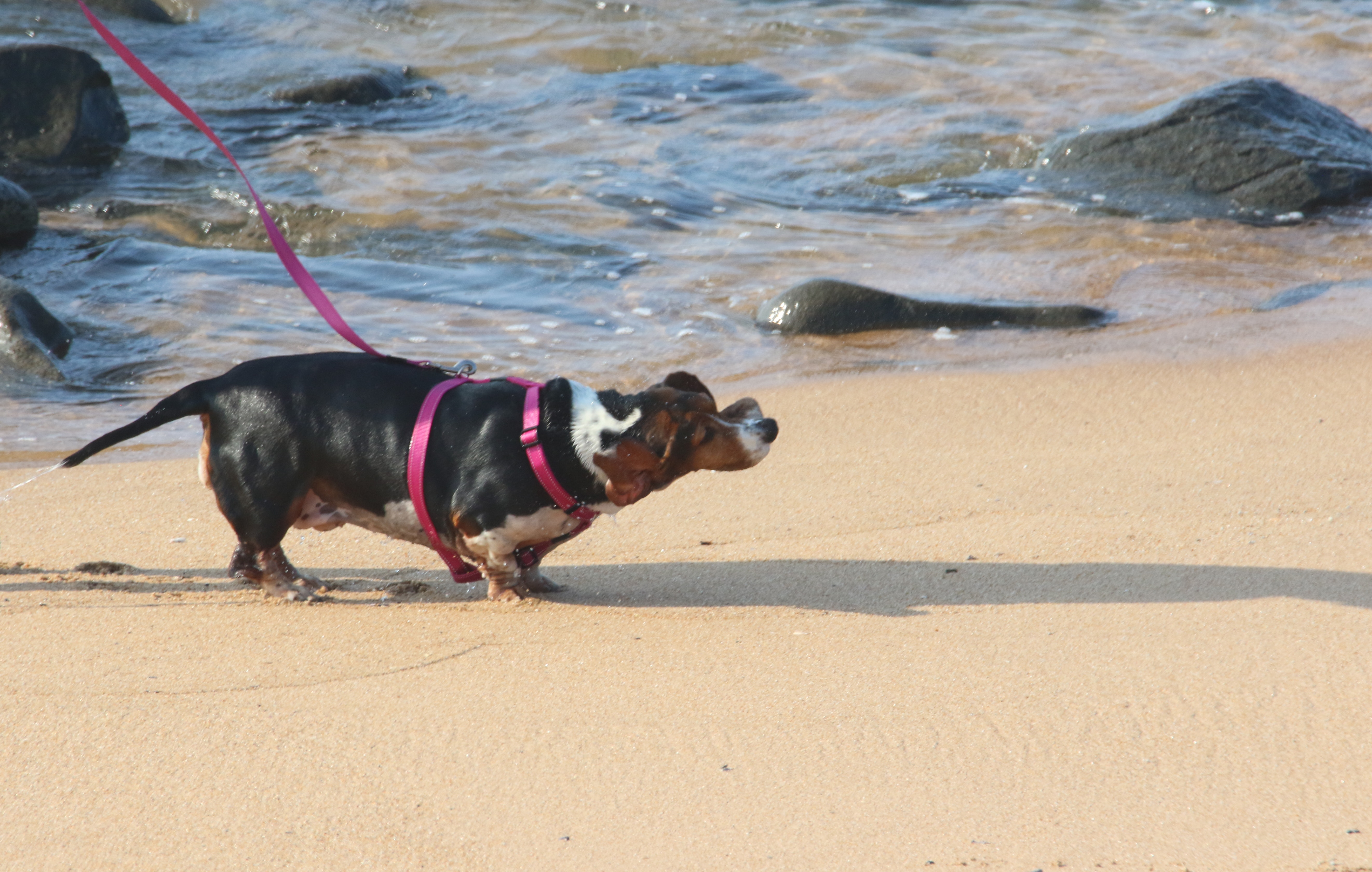 Small dog playing on the beach photo