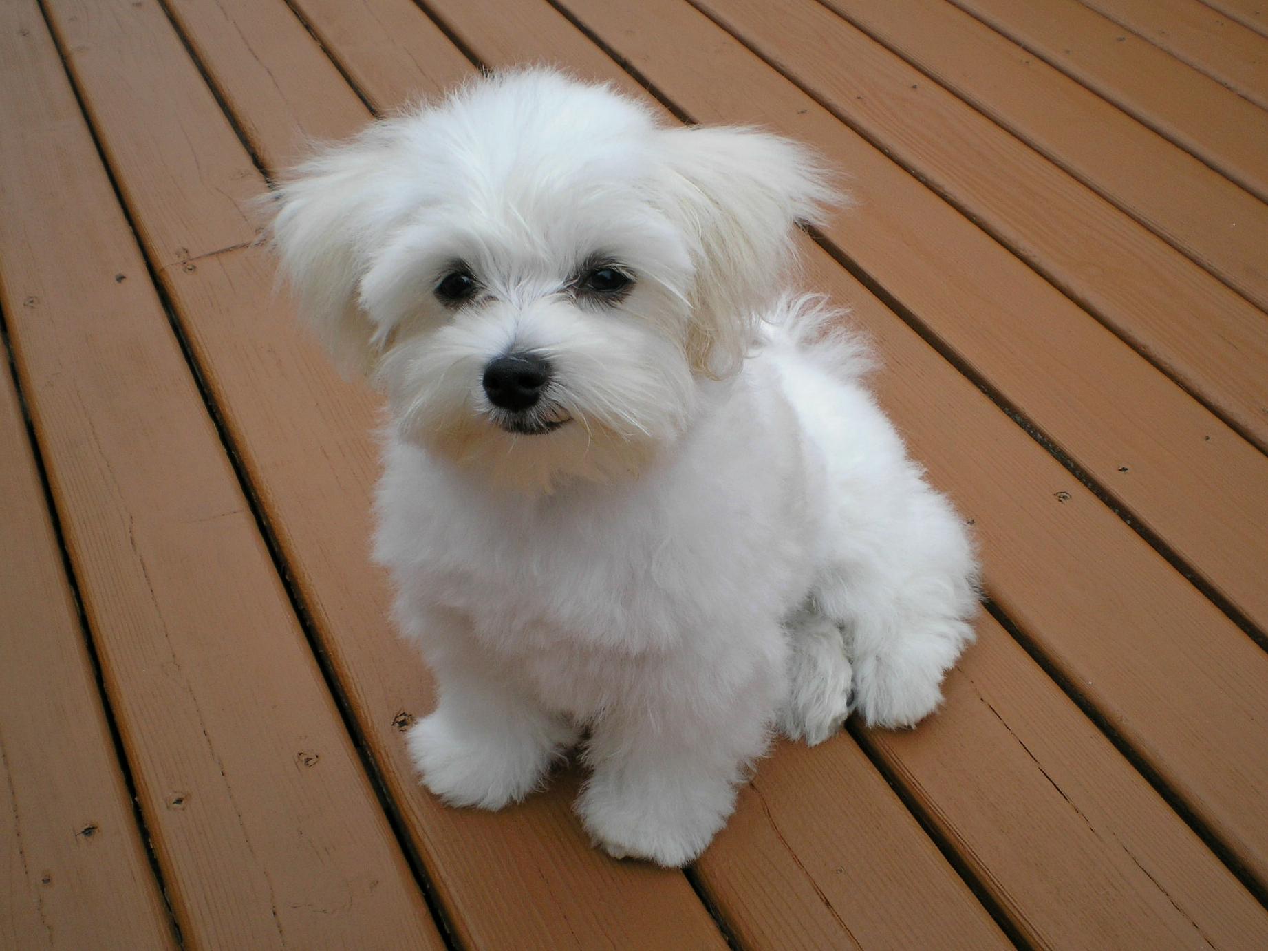 Maltese dog - Wikipedia