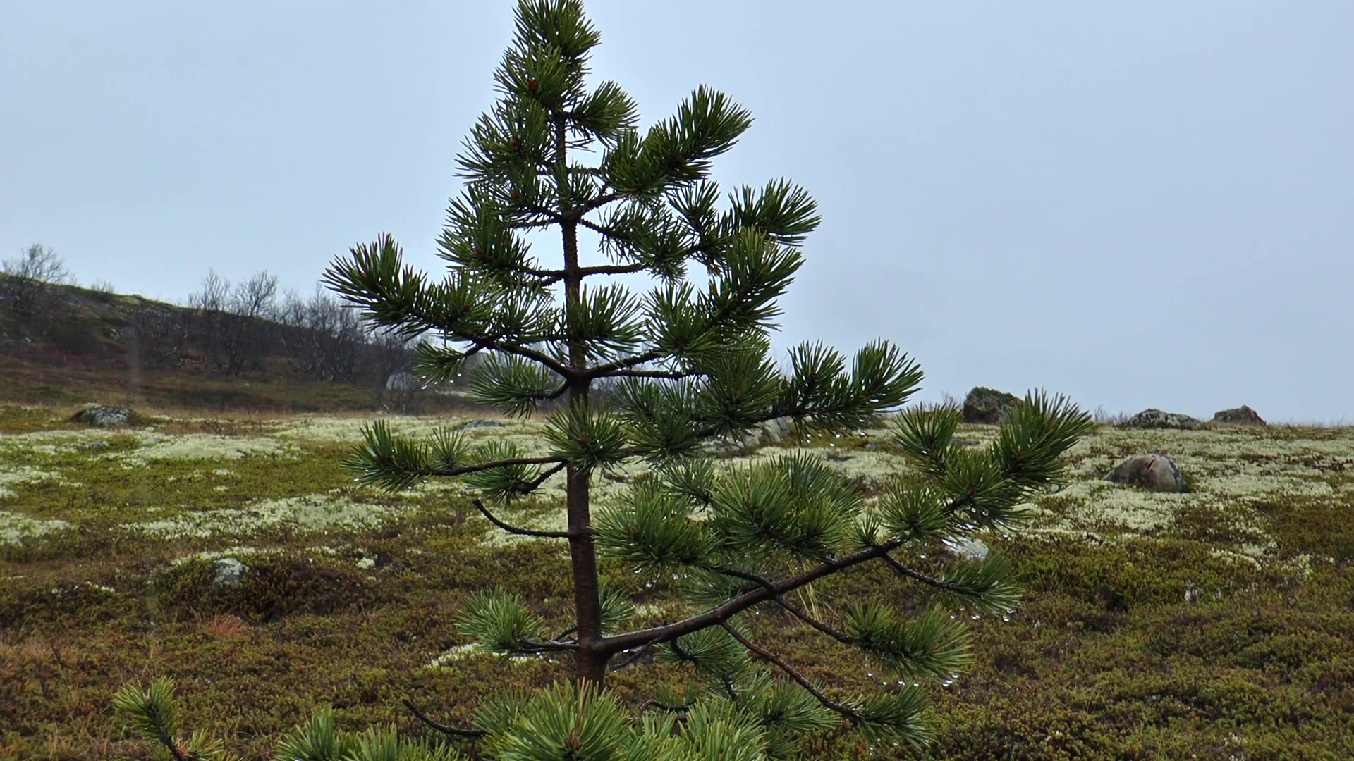 Small pine on the tundra in late autumn, there is a wet snow. Stock ...