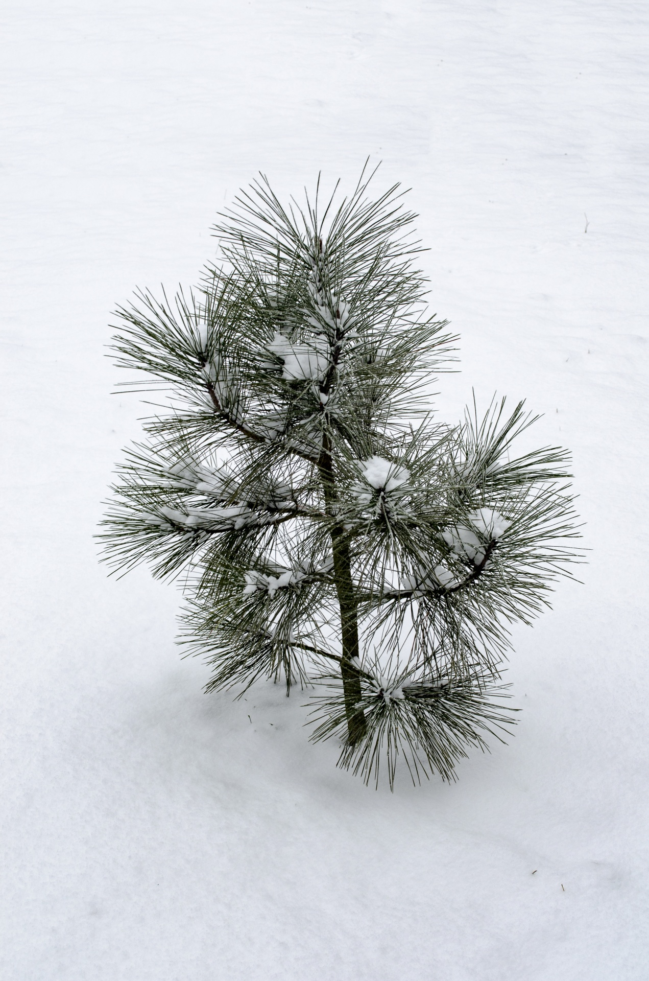 Small Pine Tree Free Stock Photo - Public Domain Pictures
