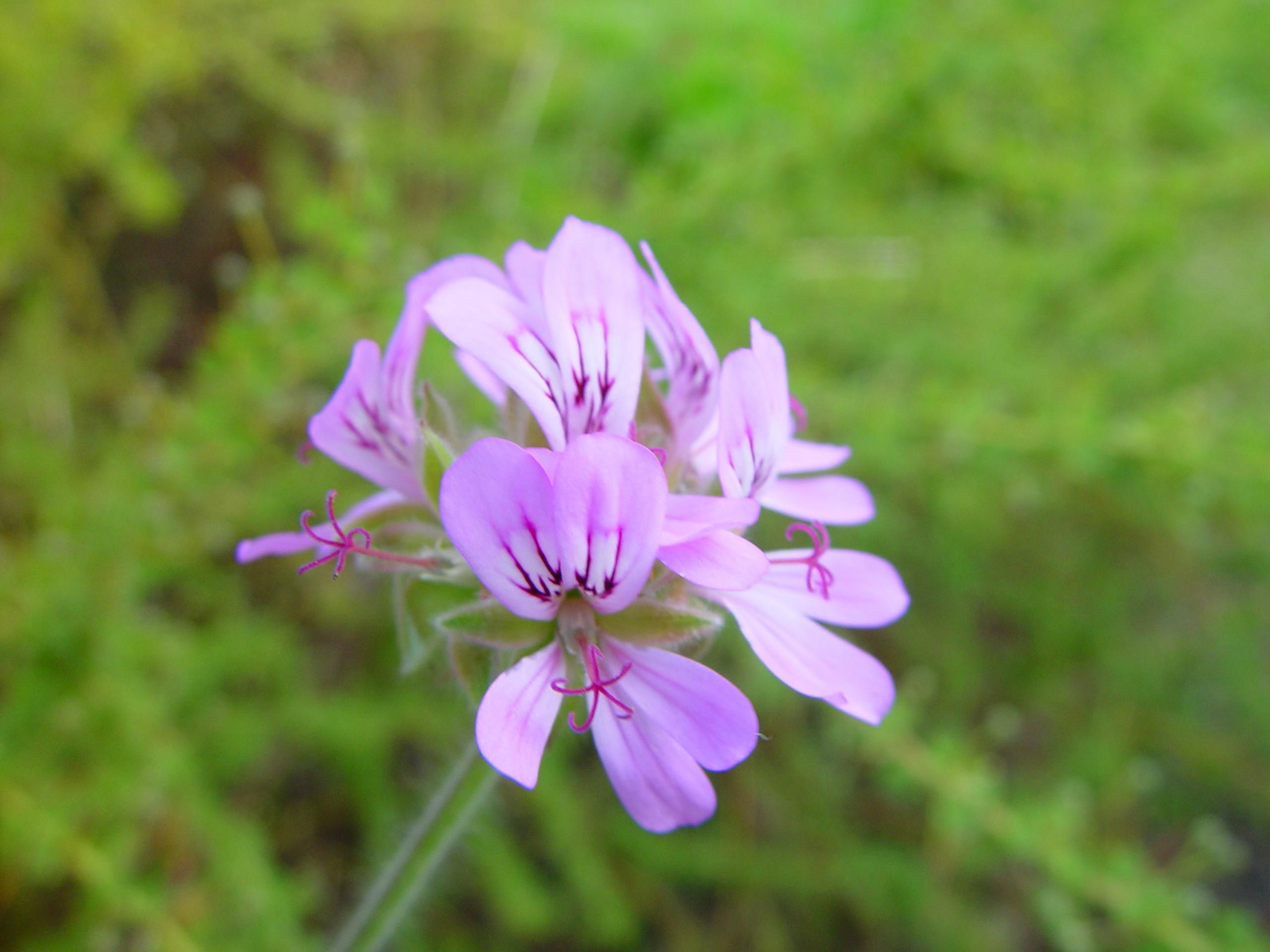File:Small purple flower.jpg - Wikimedia Commons