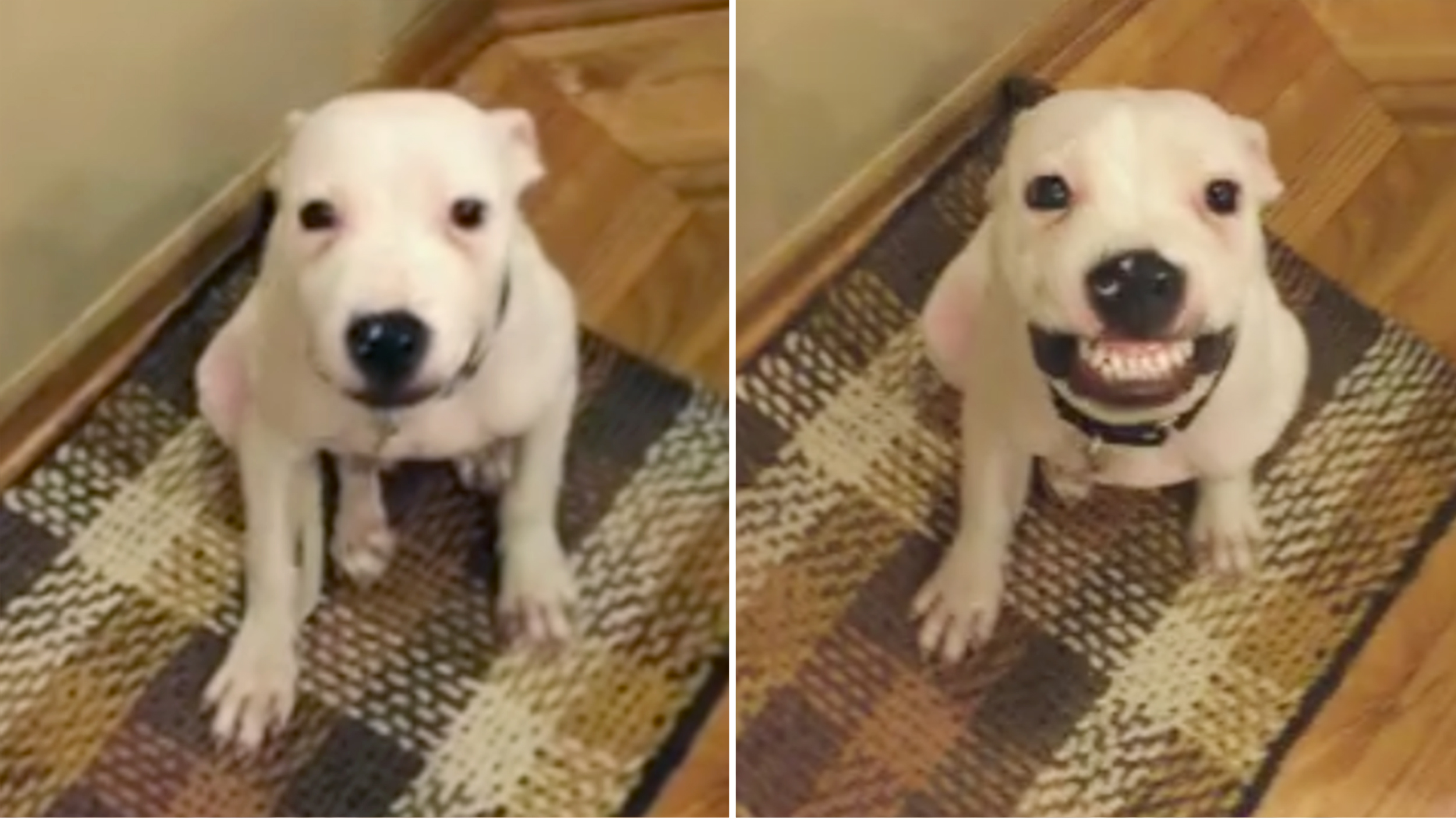 Say cheese'! Rescue dog offers up smiles on command in sweet viral video