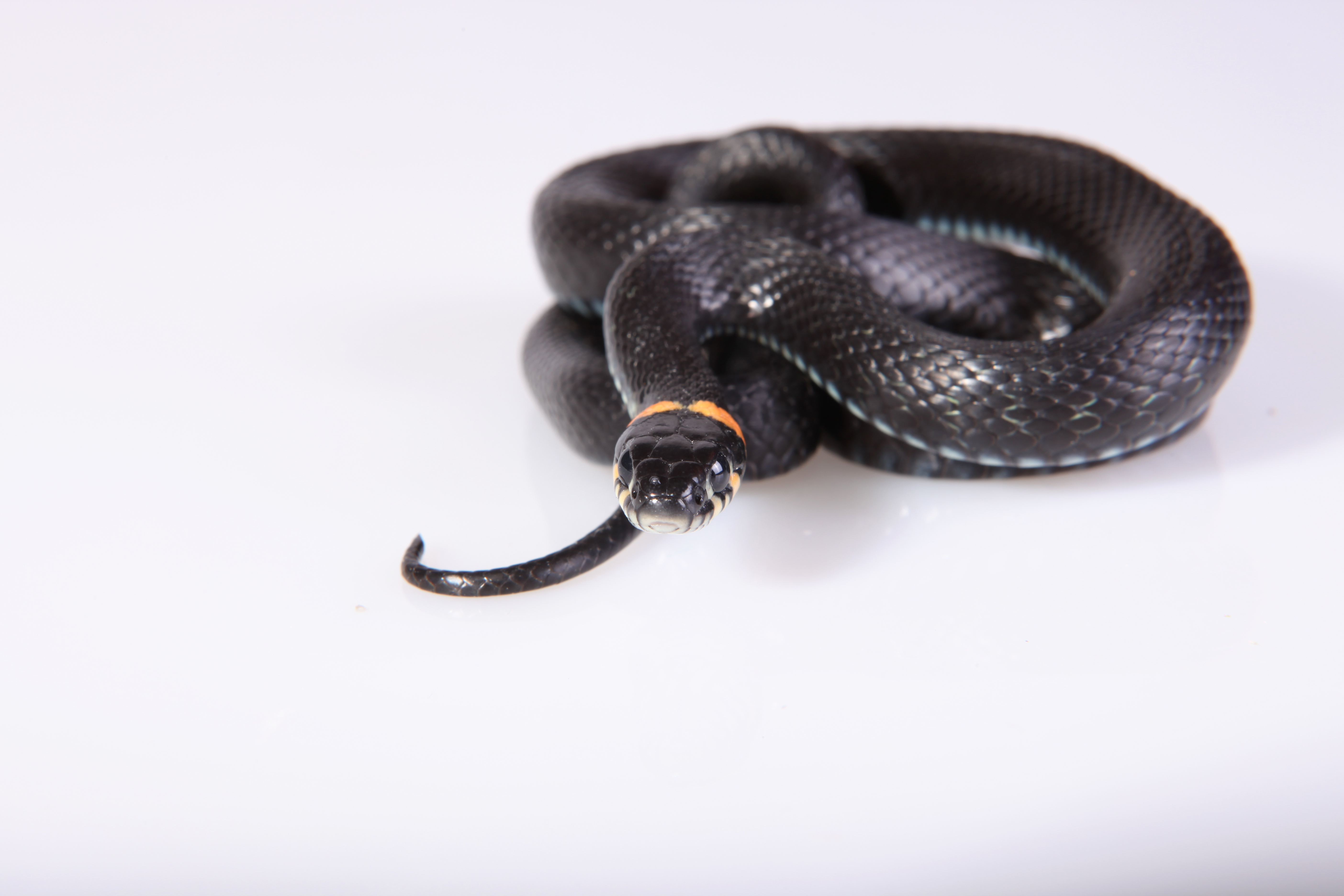 Snake, Animal, One, Tongue, Threats, HQ Photo