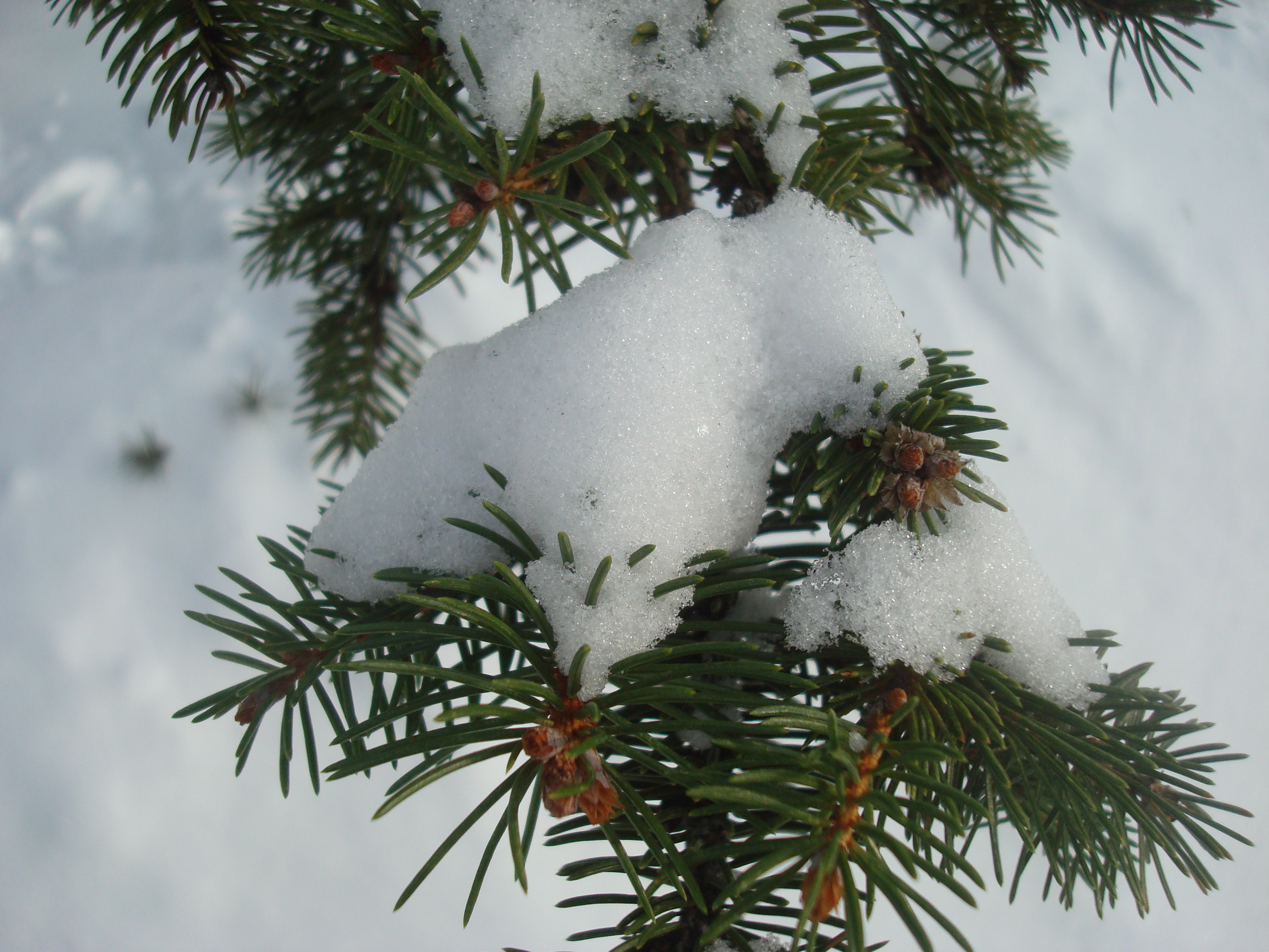 Snow covered fir tree photo
