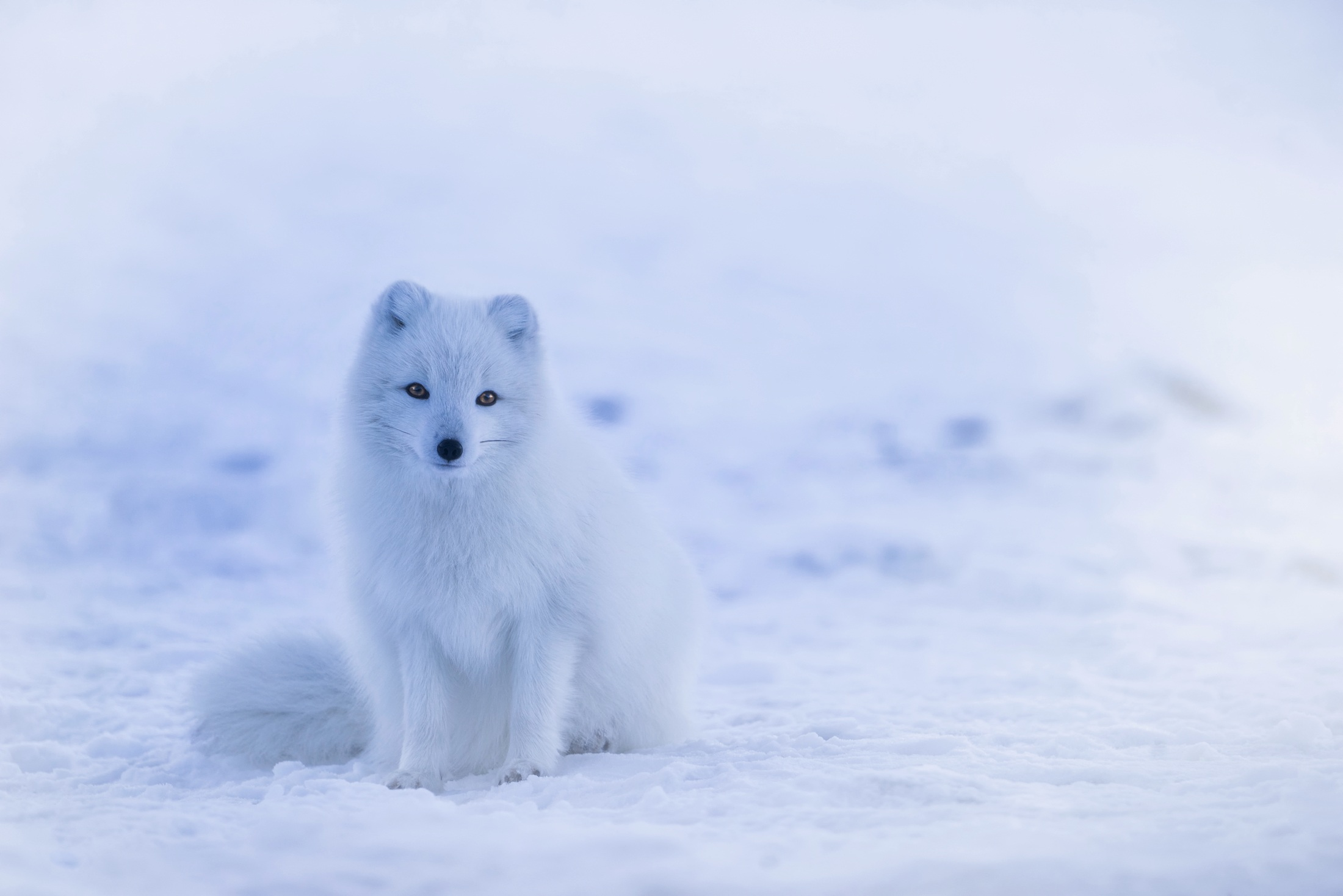 Snow fox in iceland photo