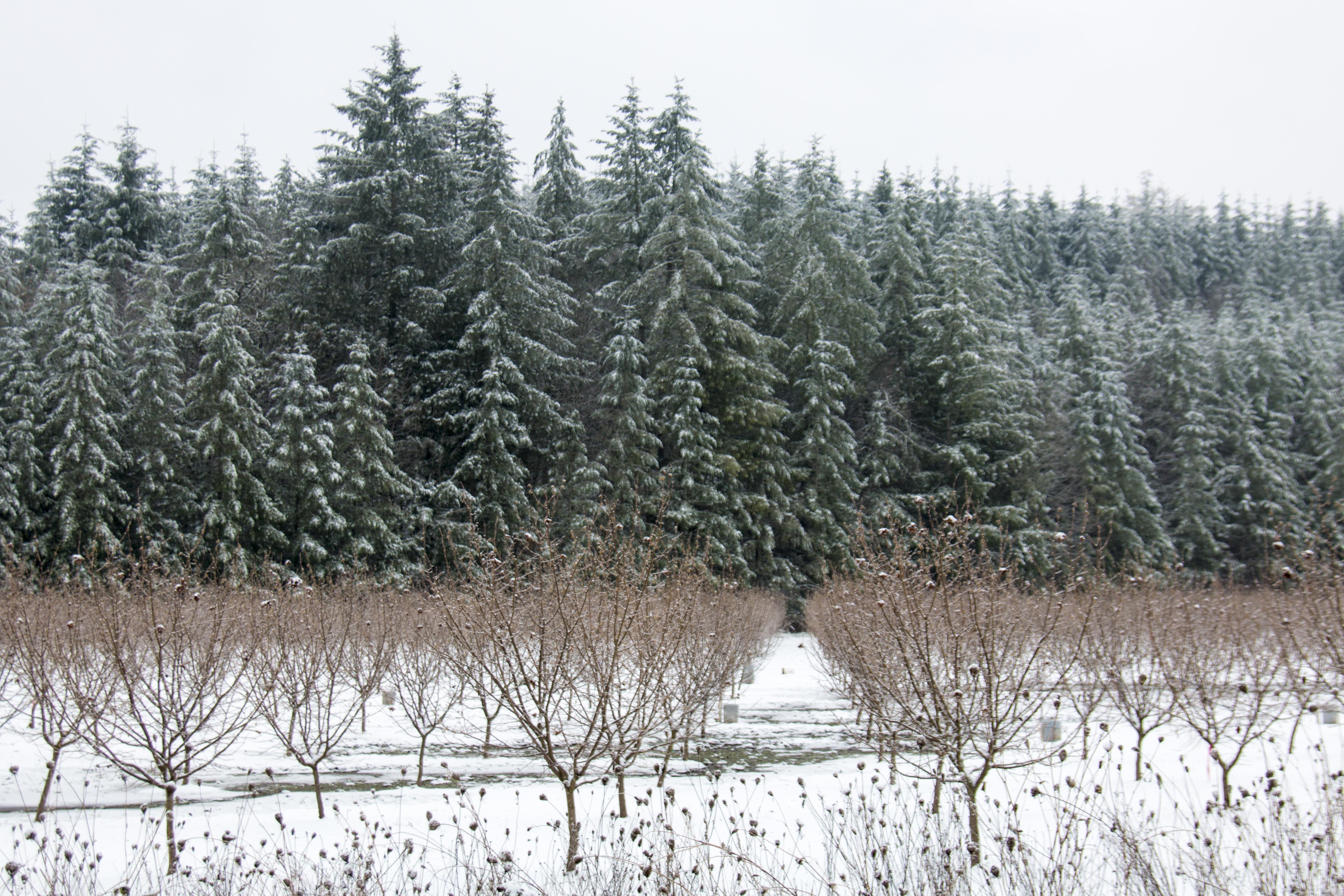 Snow on the hazel nut trees, oregon photo