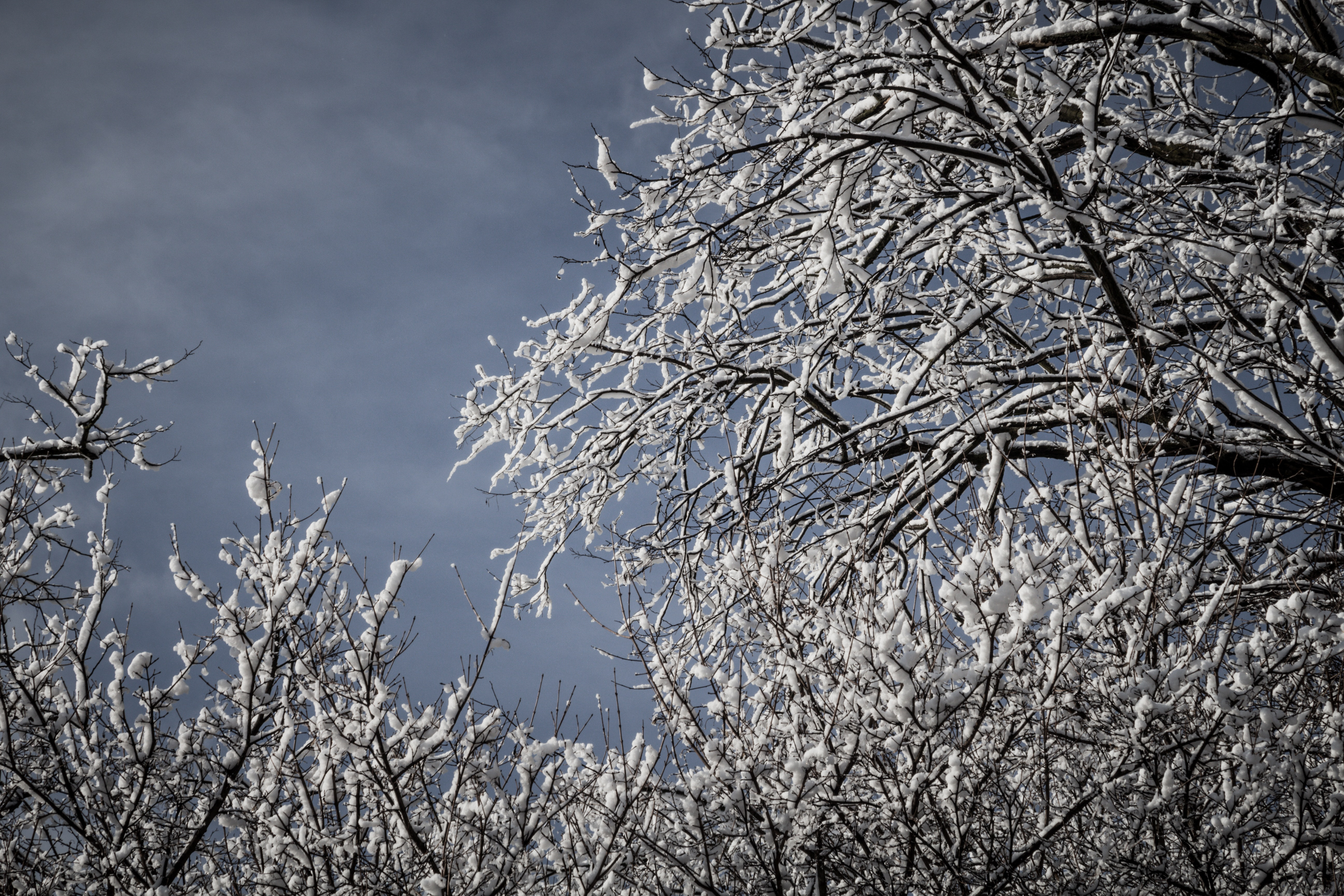 Snowcapped Trees, Branches, Cold, Frost, Frosty, HQ Photo
