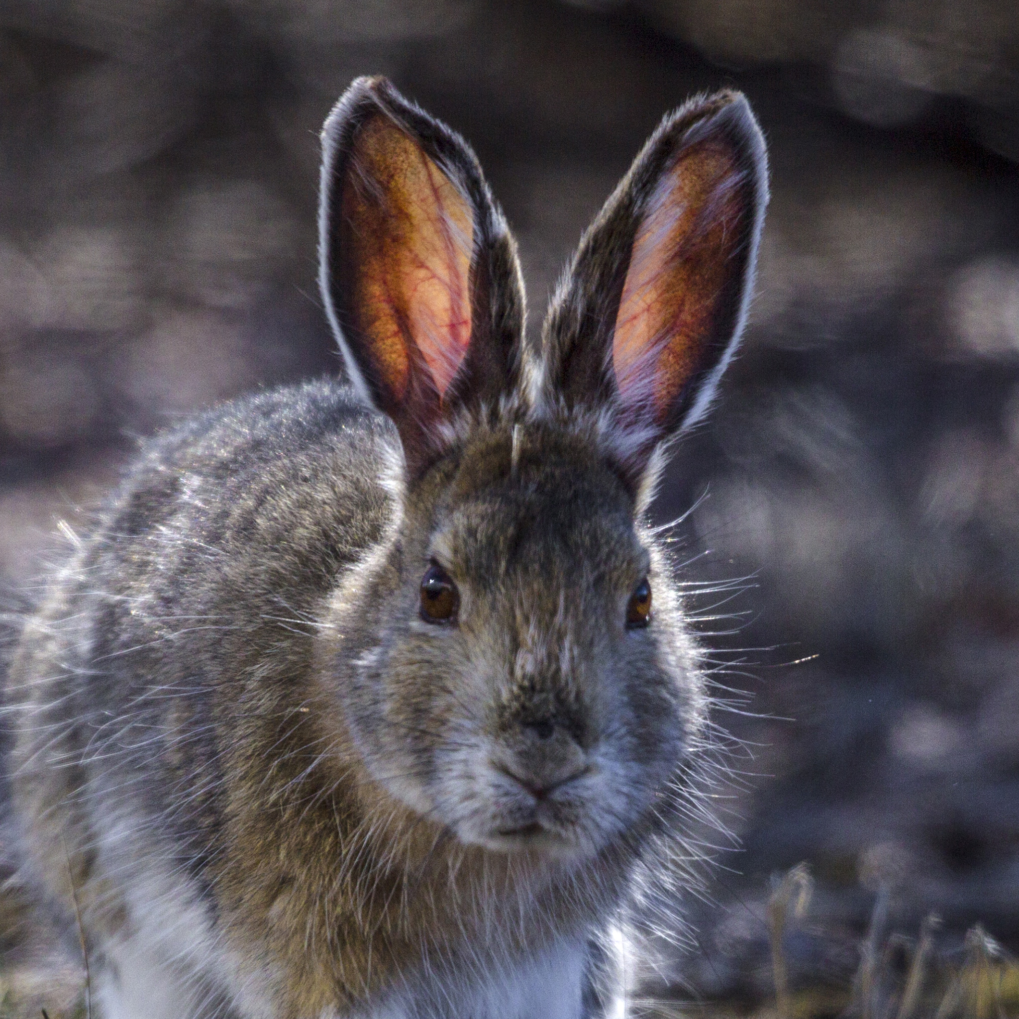 Snowshoe Hare | National Geographic