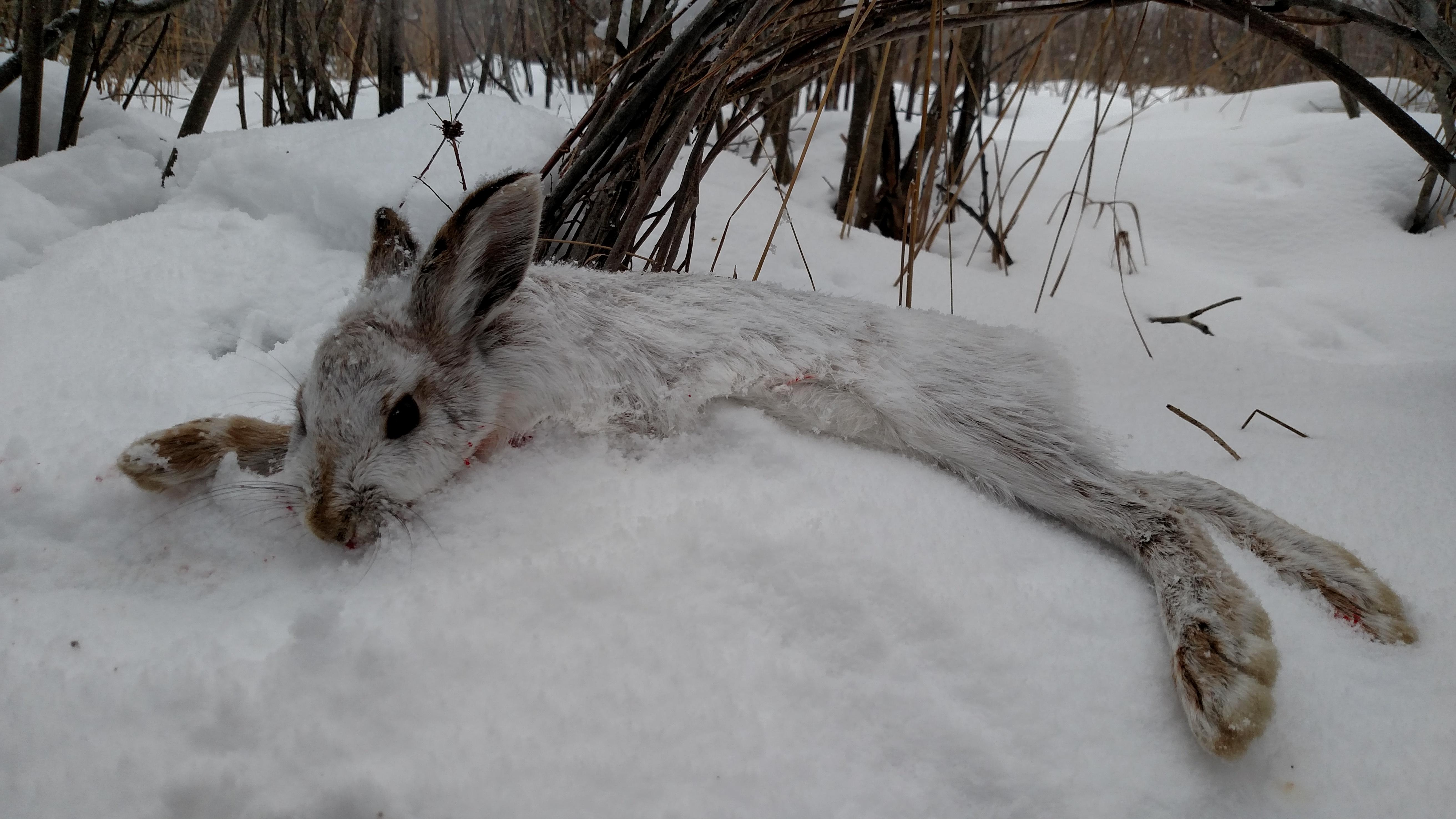 Snowshoe Hare | Michigan Sportsman - Online Michigan Hunting and ...
