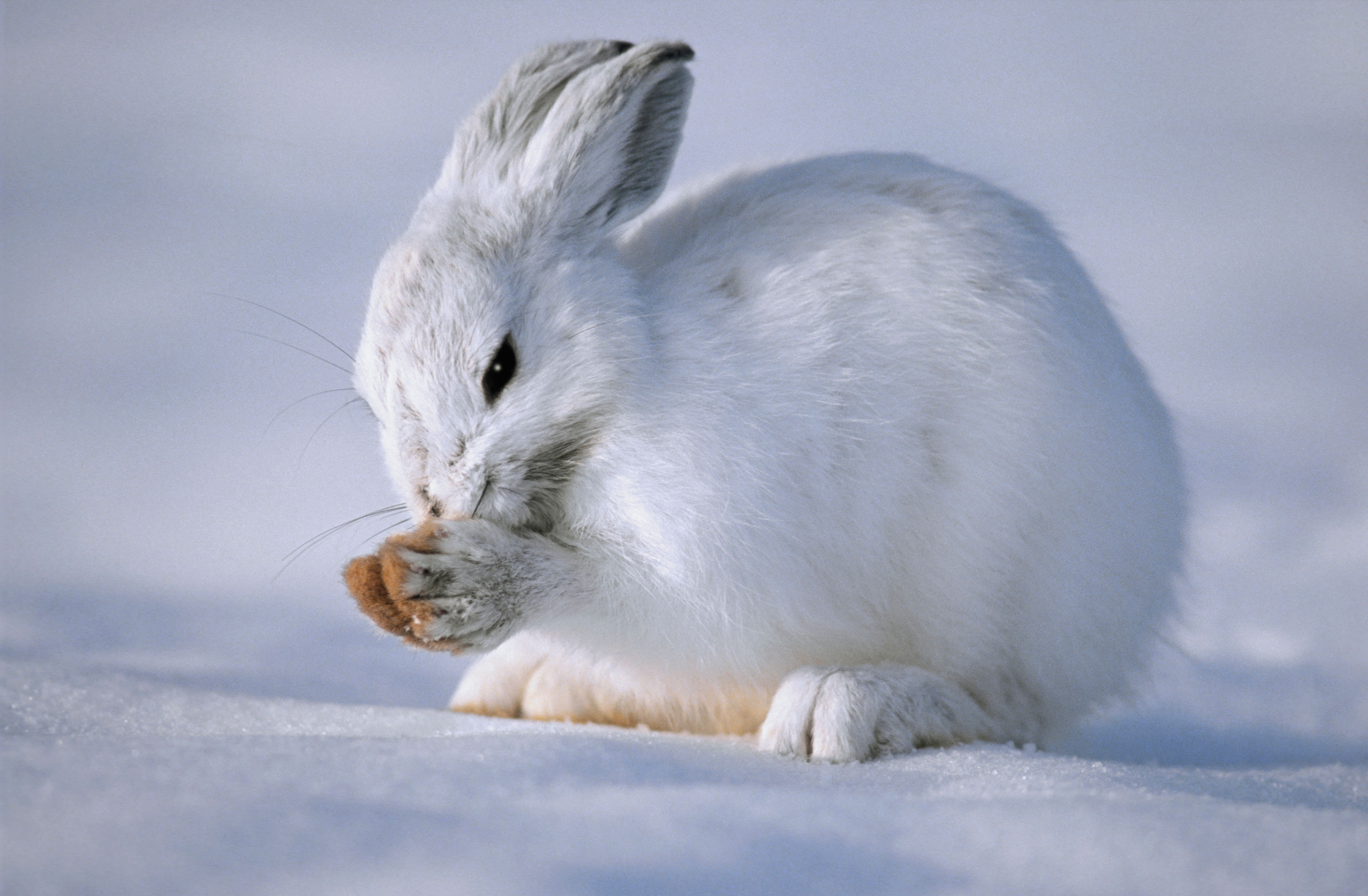 Snowshoe Hare | Earth Rangers Wild Wire Blog
