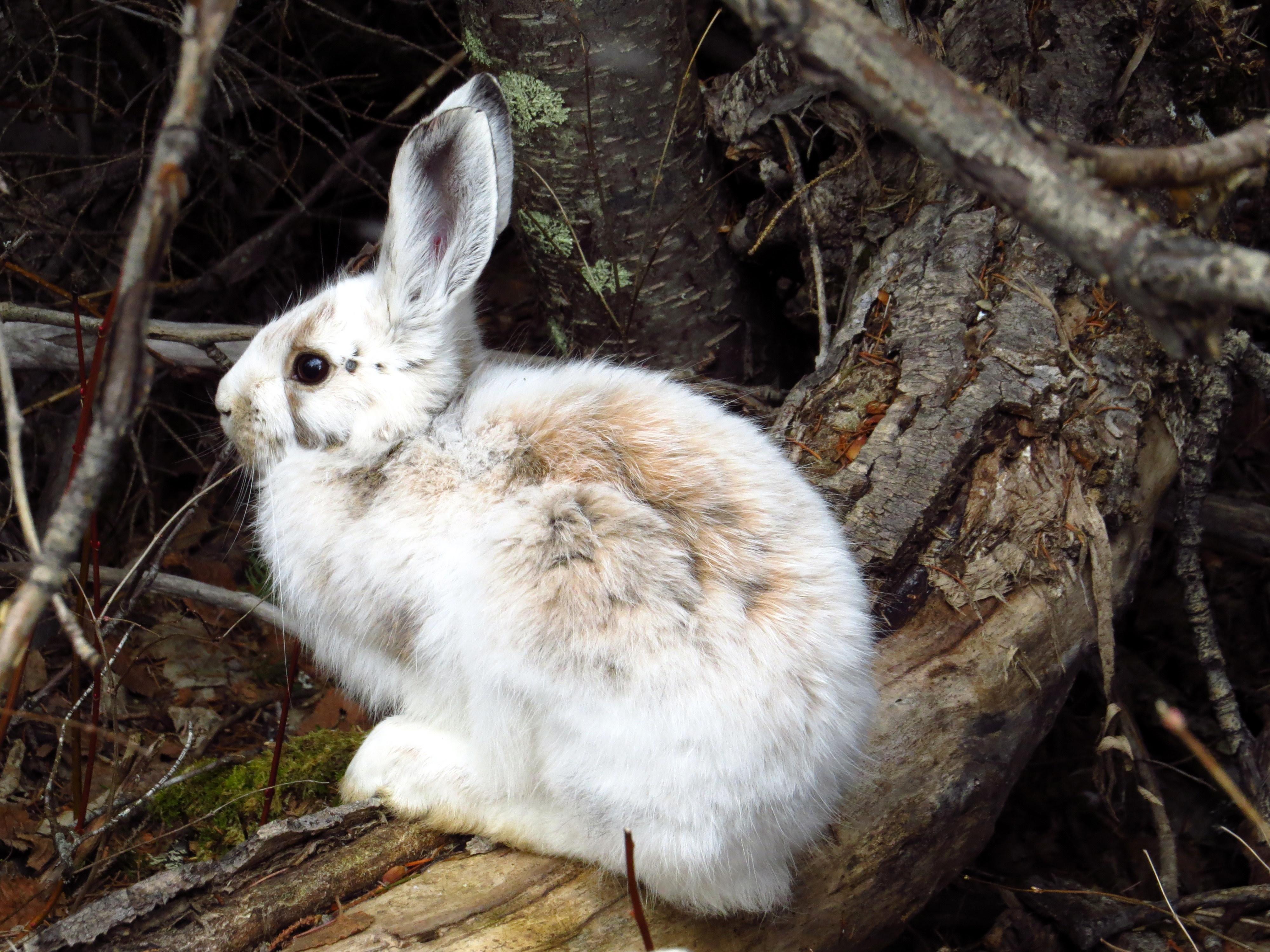 Snowshoe Hare (Lepus americanus) | MPG North